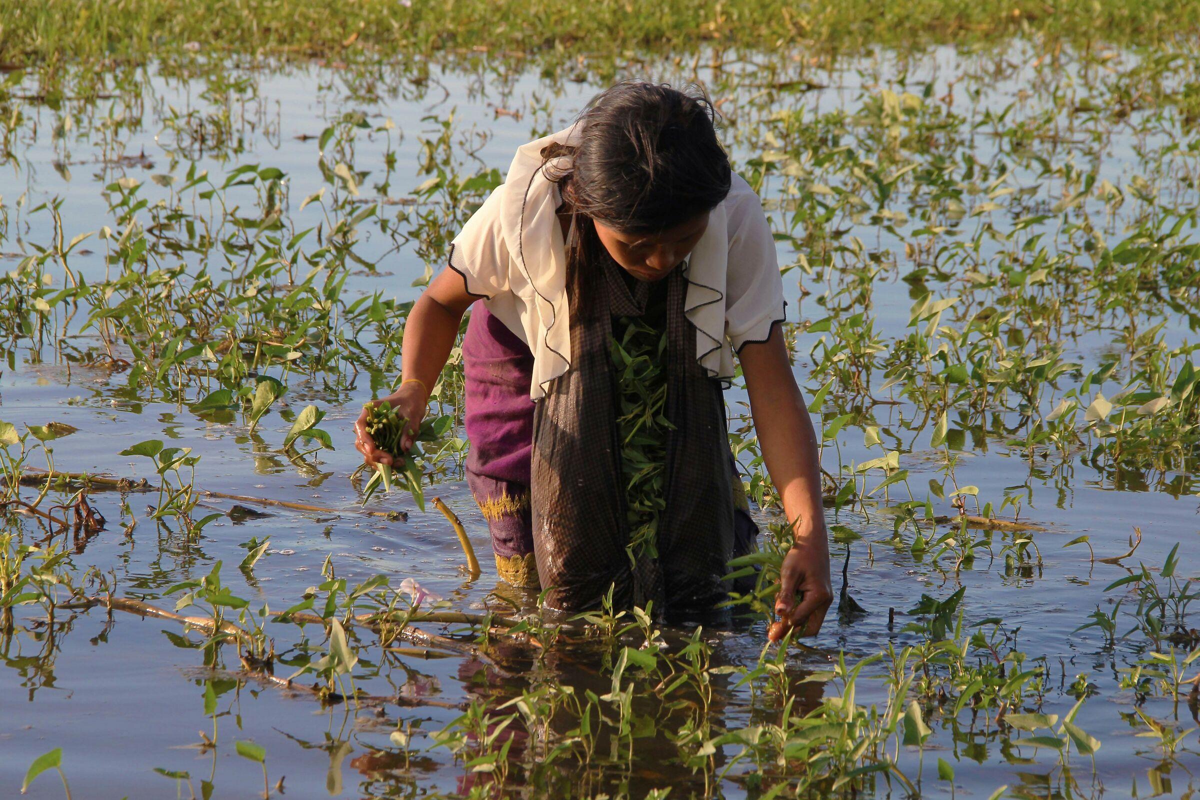 Myanmar: Watercress Harvest...
