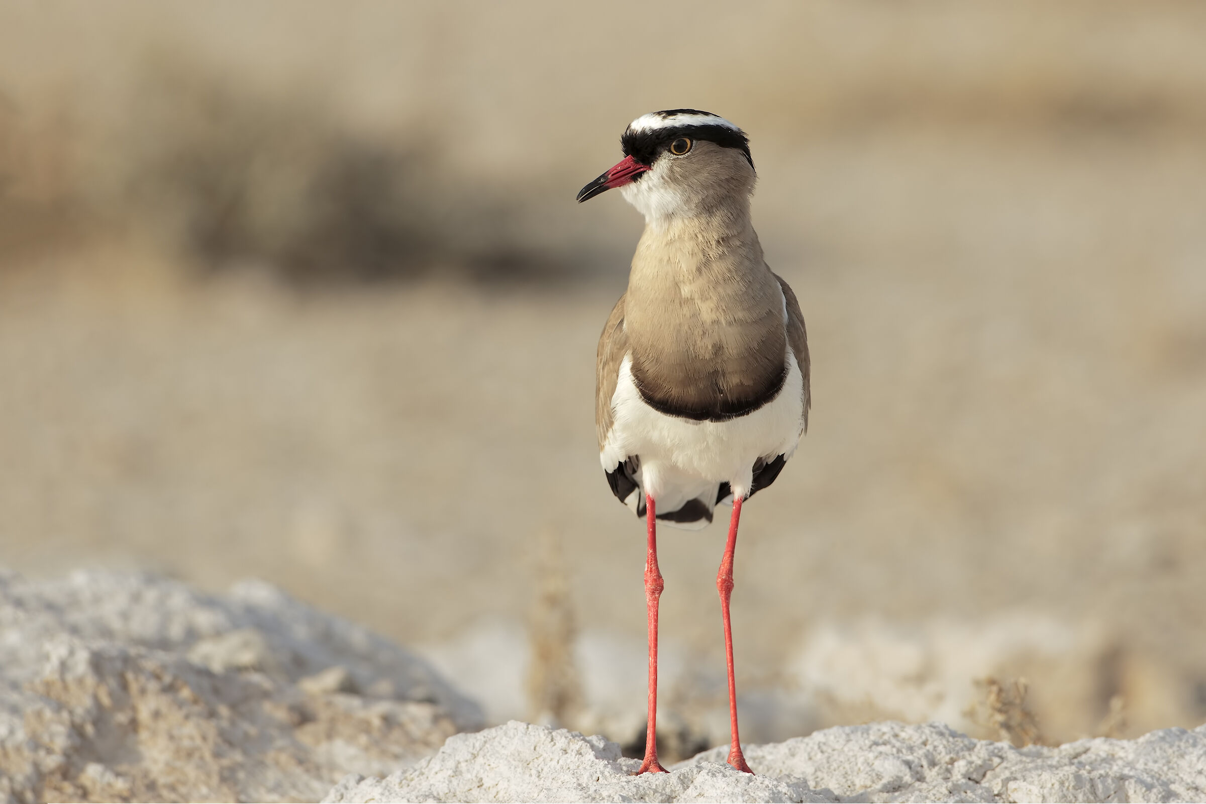 Crowned Lapwing...
