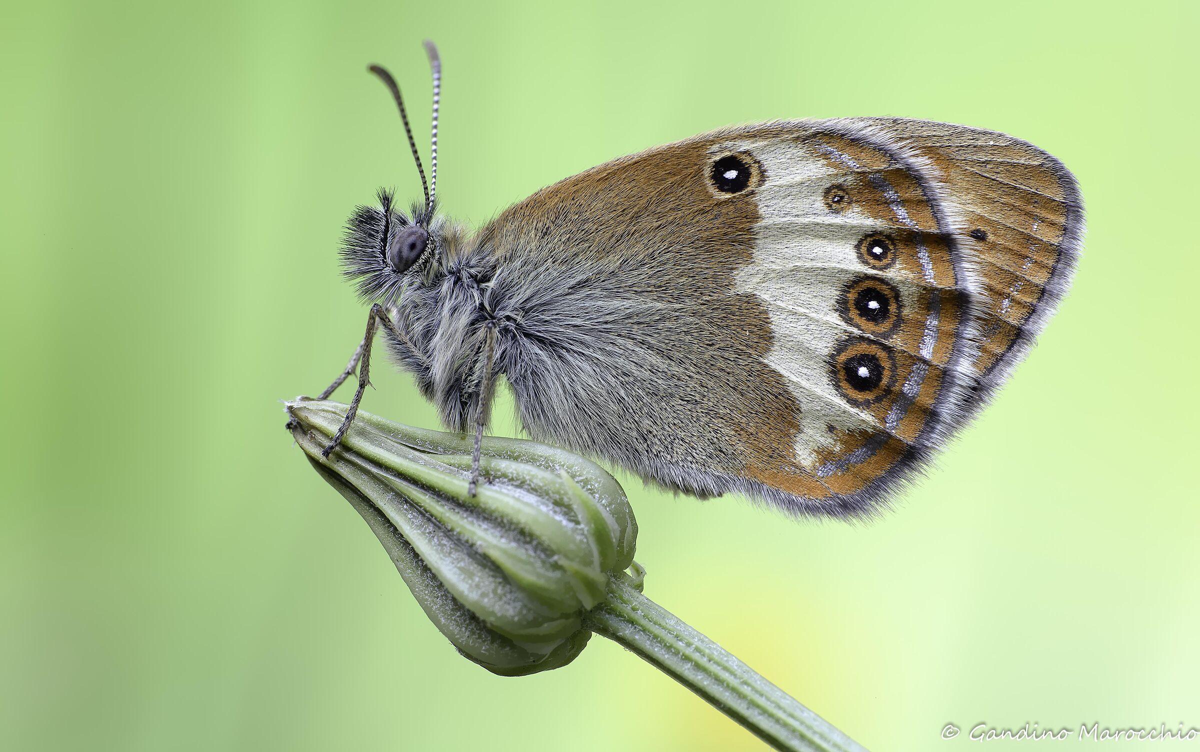 Coenonimpha Darwinian...