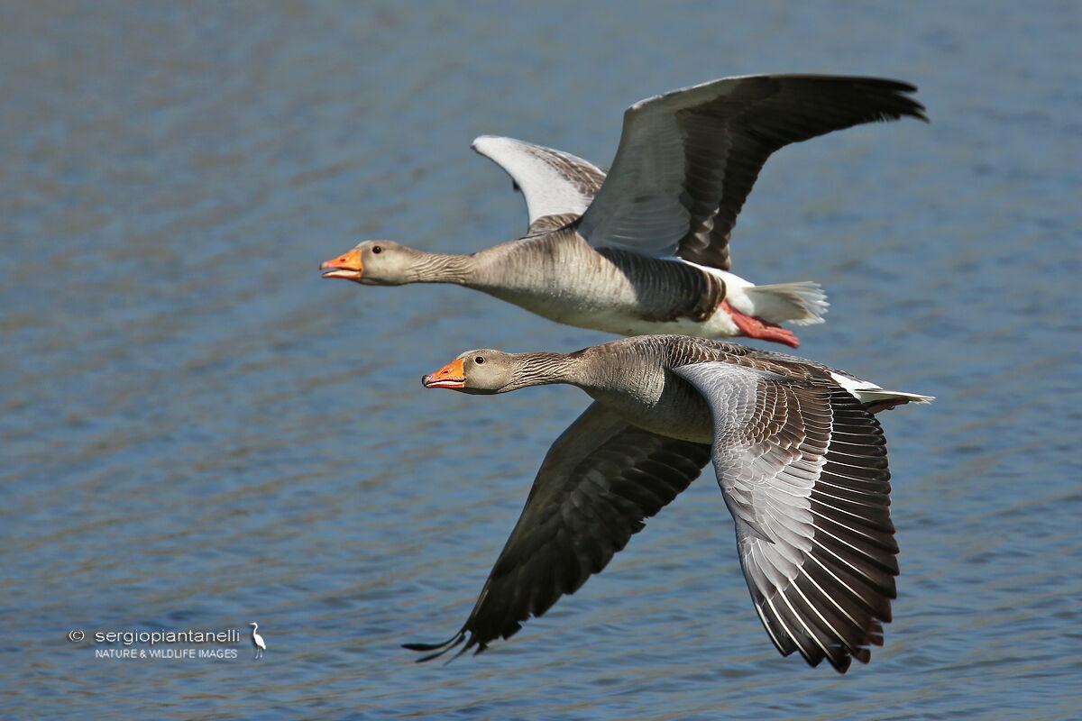 Goose...