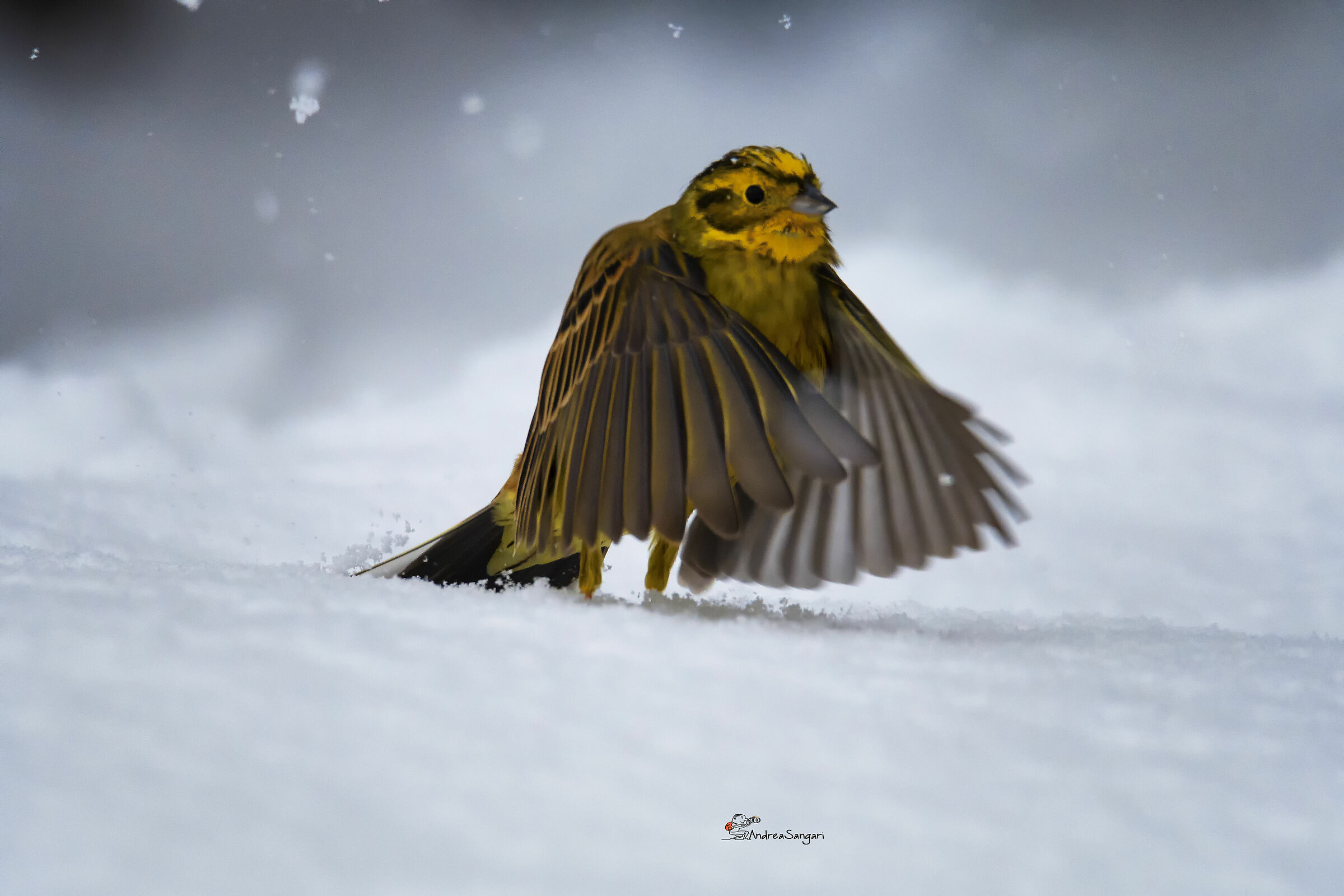 The Yellowhammer in the blizzard...