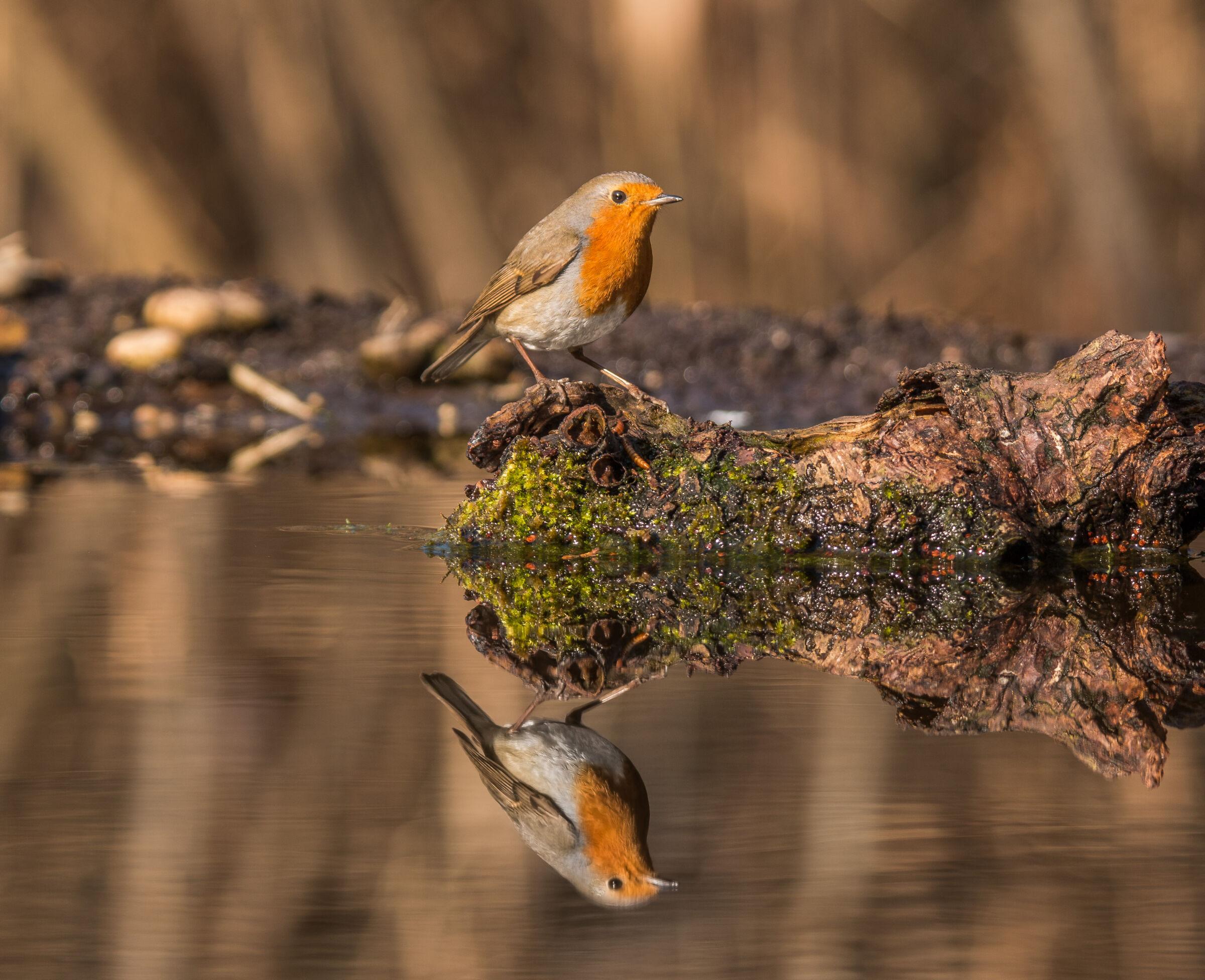 Rifless Robin.... Ivo...