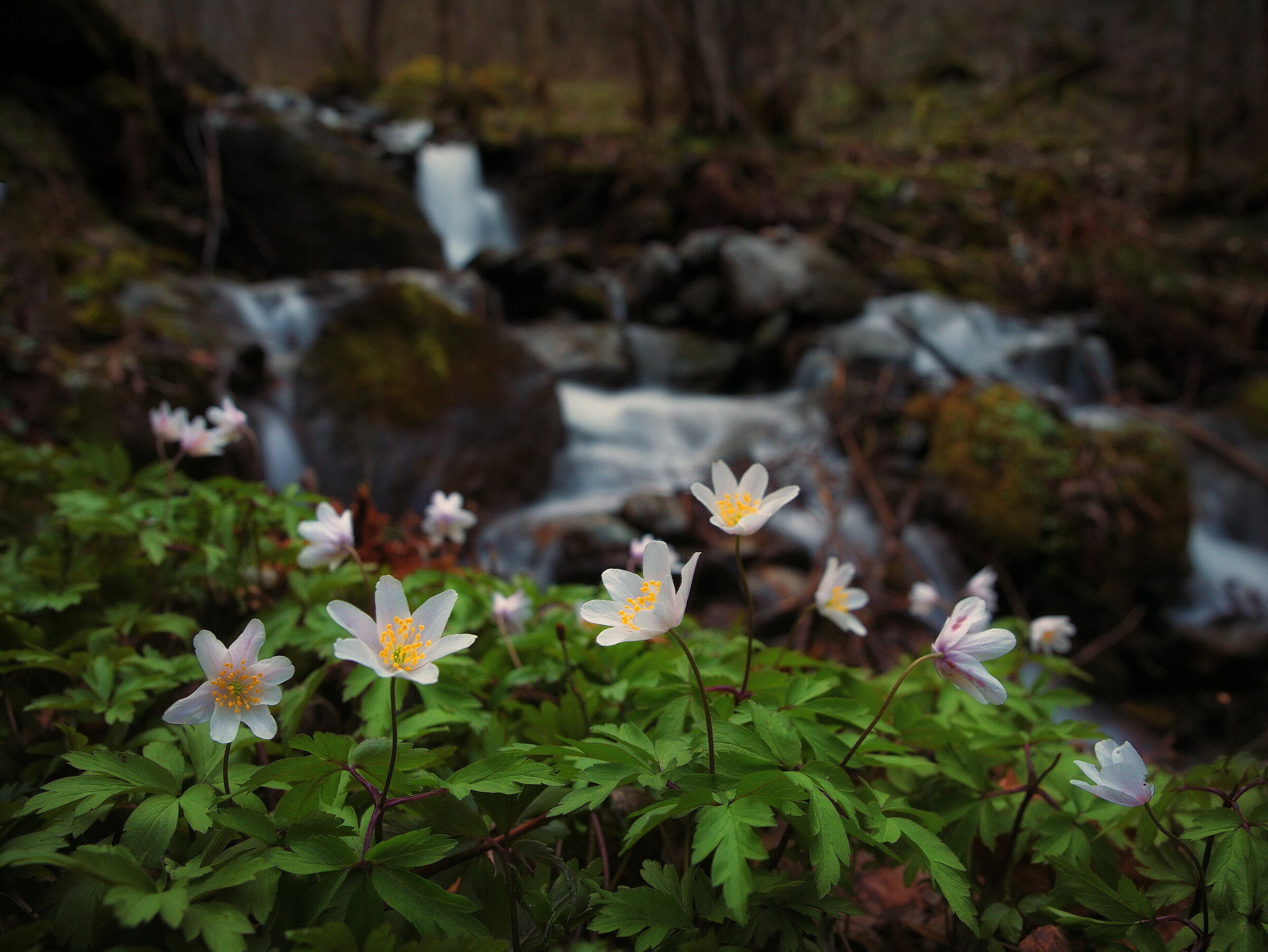 Anemones in the Woods...