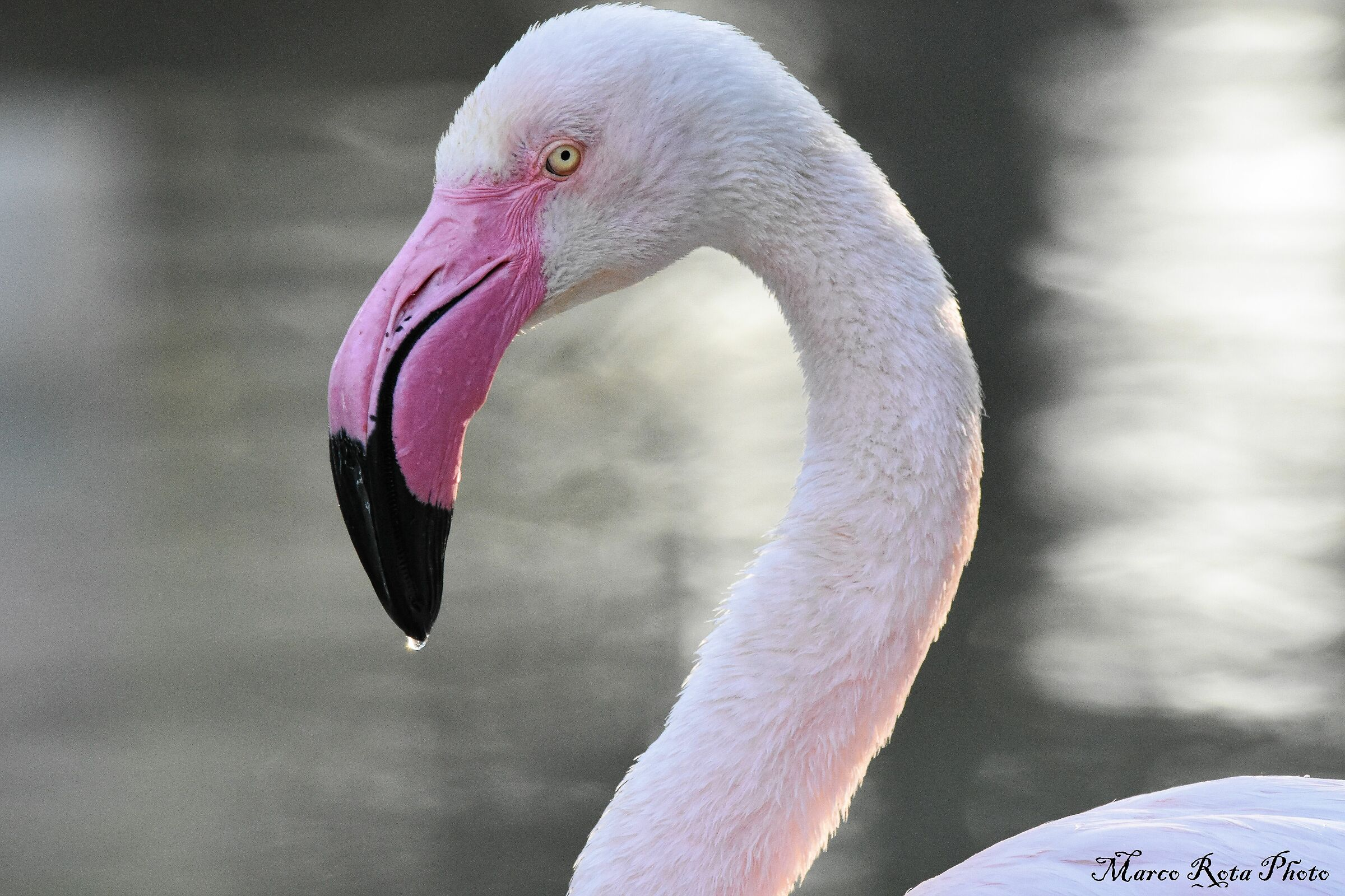 Flamingo with the drop to the nose....