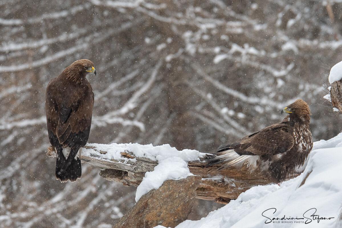 Royal Eagles...