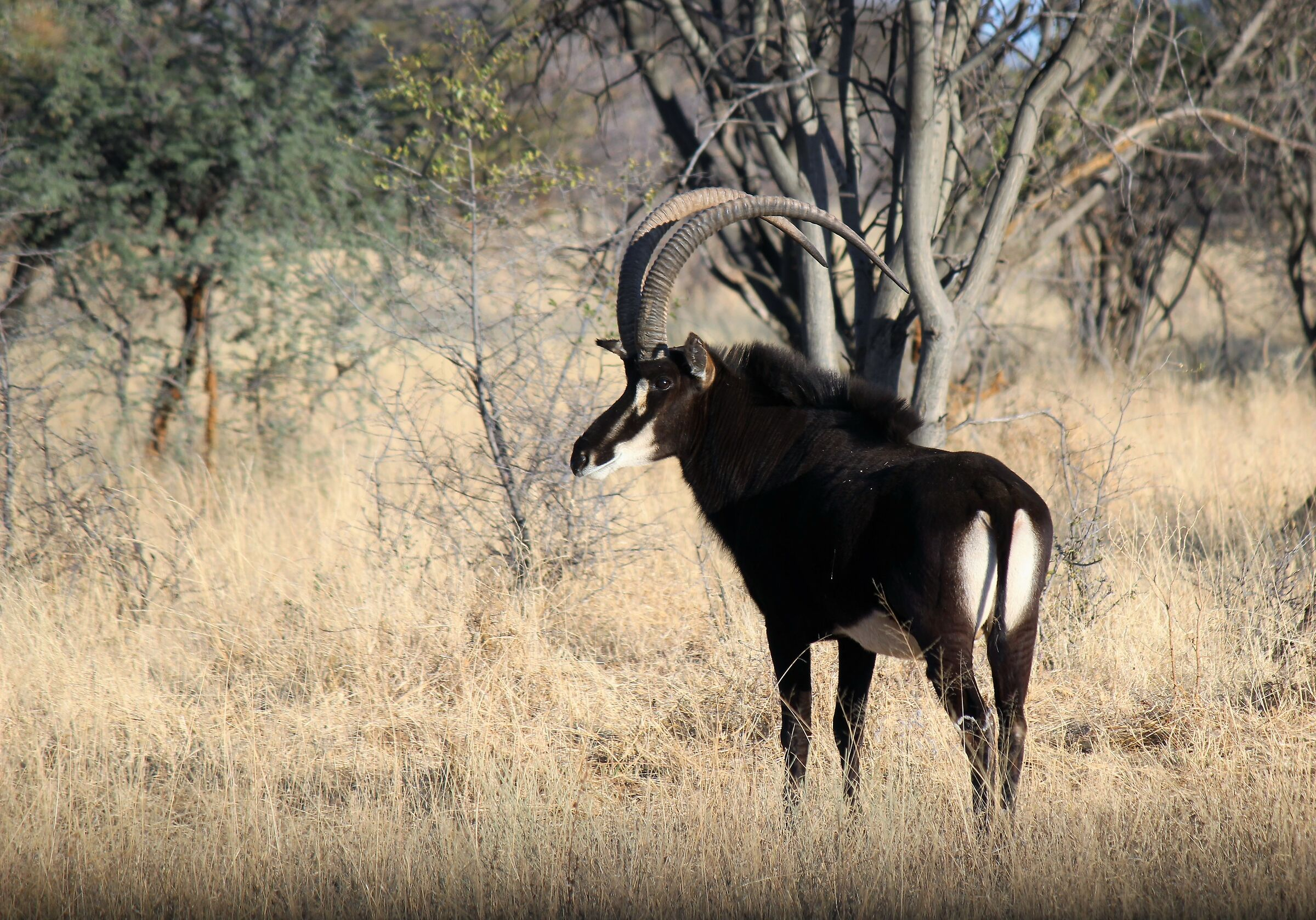 Out of the usual safari: Black Antelope ...