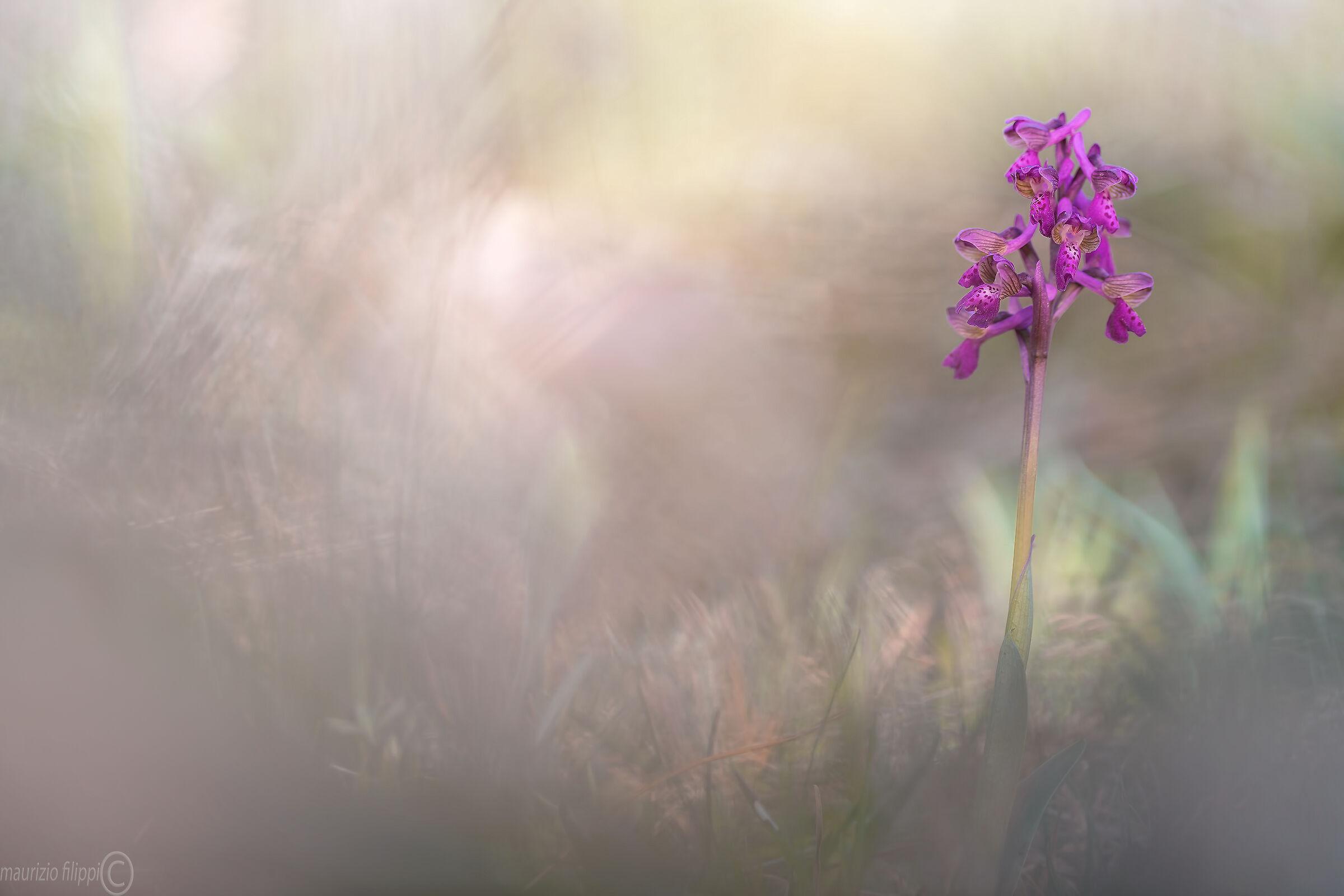Anacamptis morio orchidea spontanea...