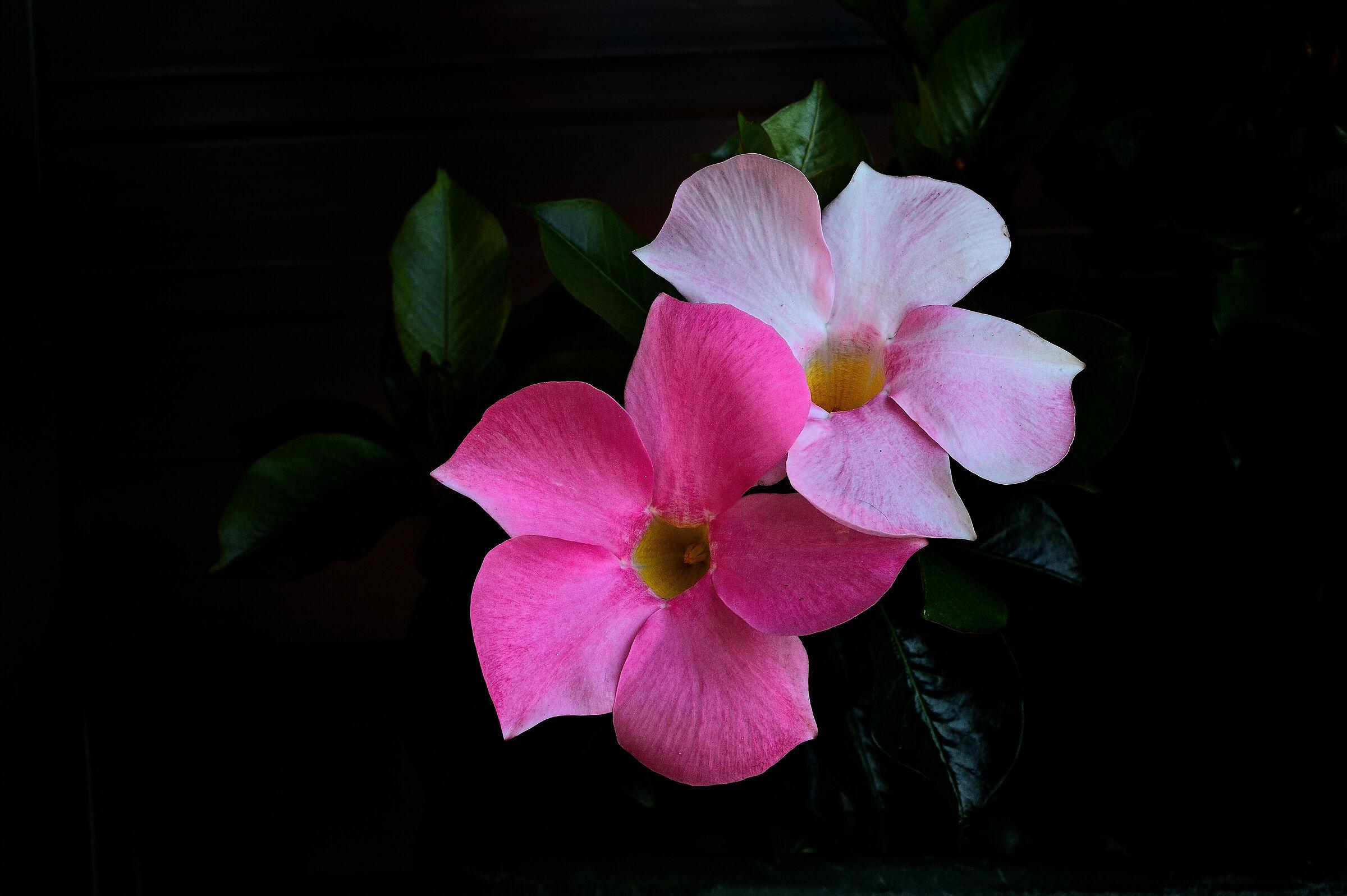 Sundaville Rose...