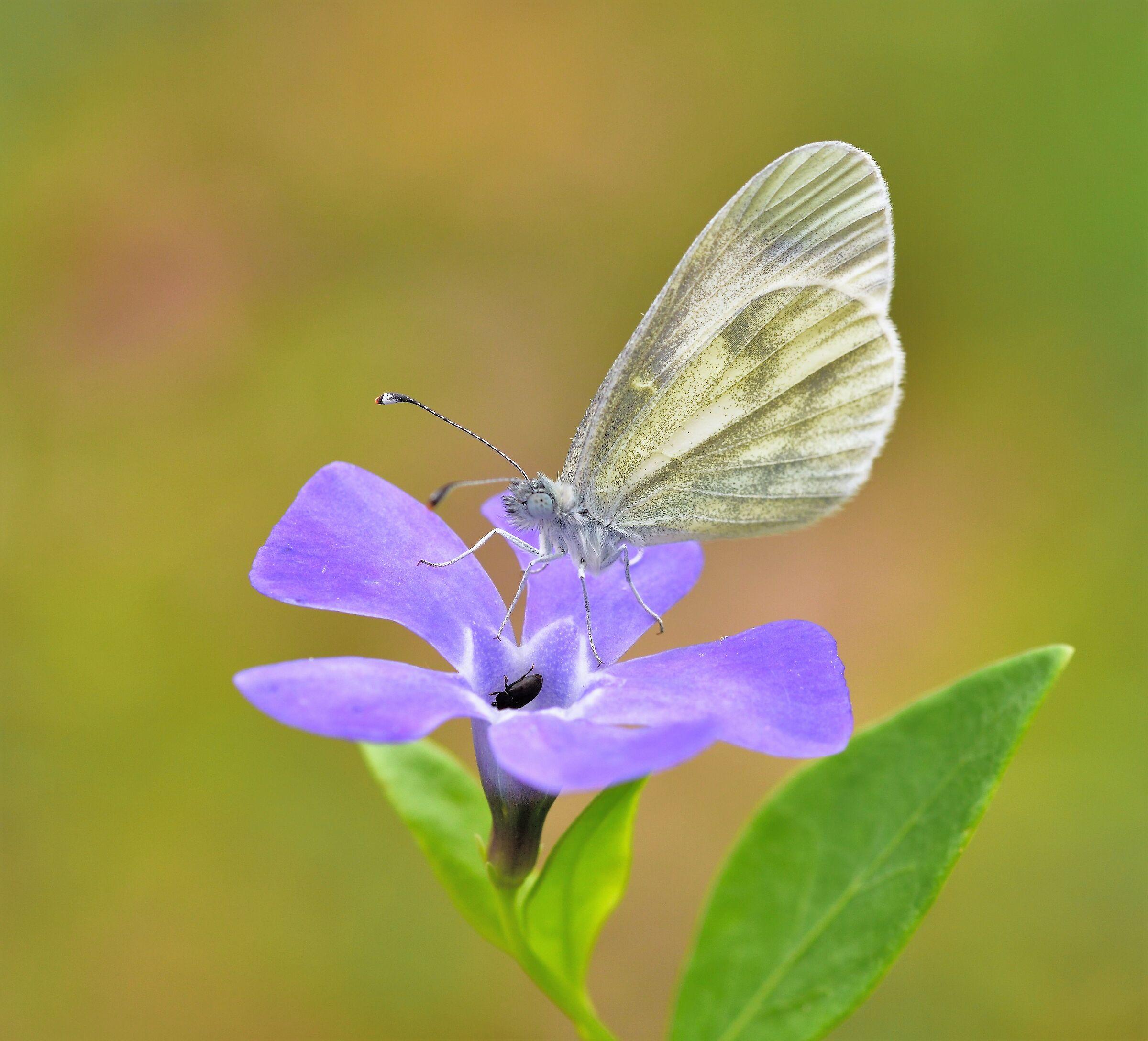 Butterfly?...