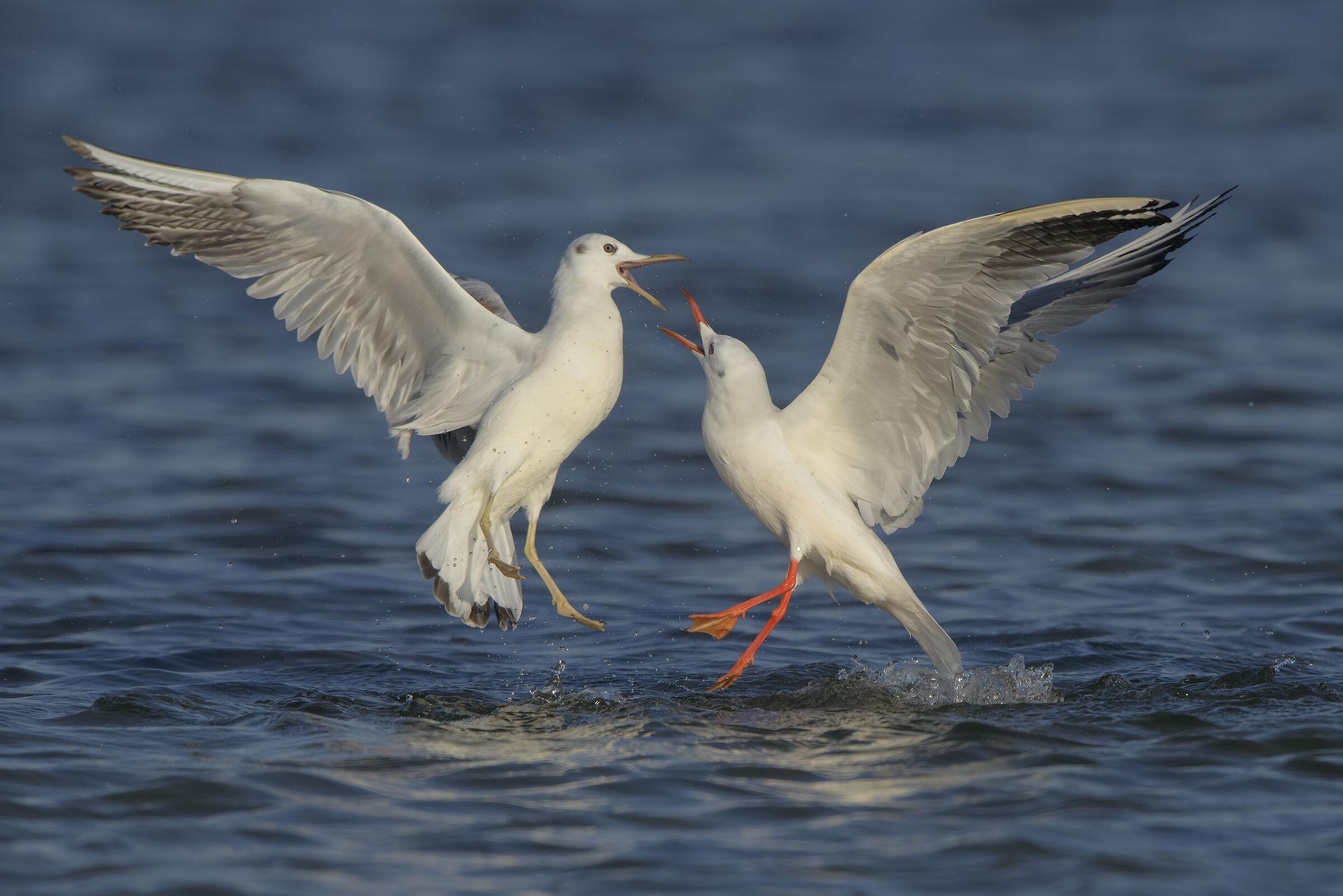 Seagulls Rosei (adult Vs. Young)....