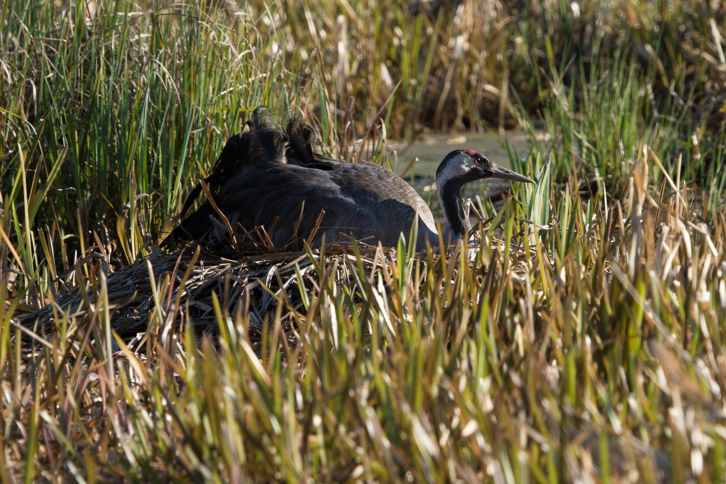 Common crane (Grus grus)...