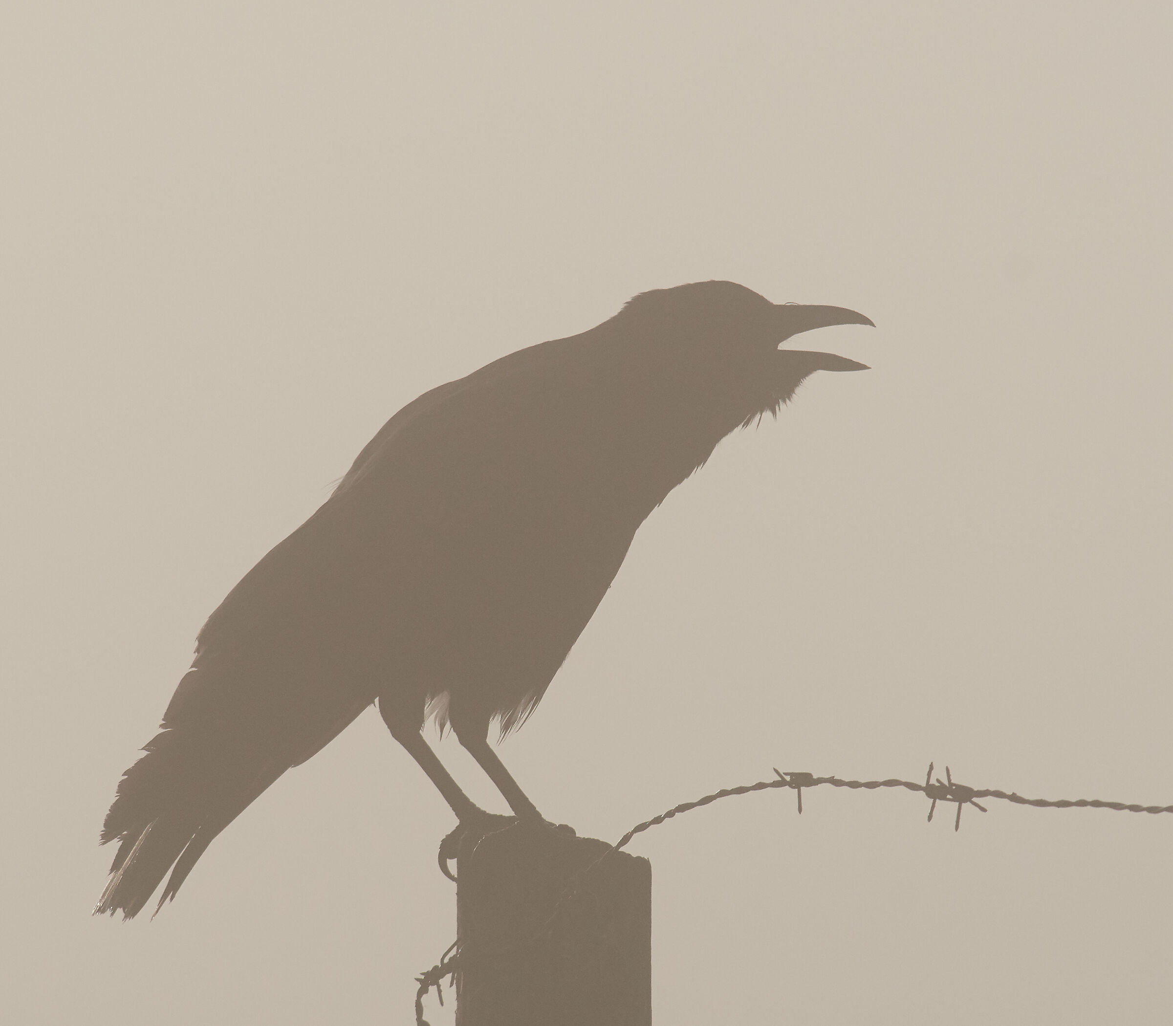 Black Crow morning mist...