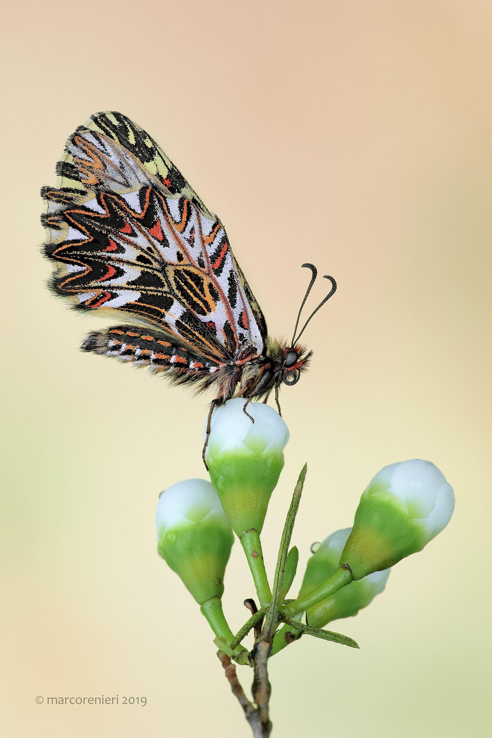 Zerynthia Polyxena...