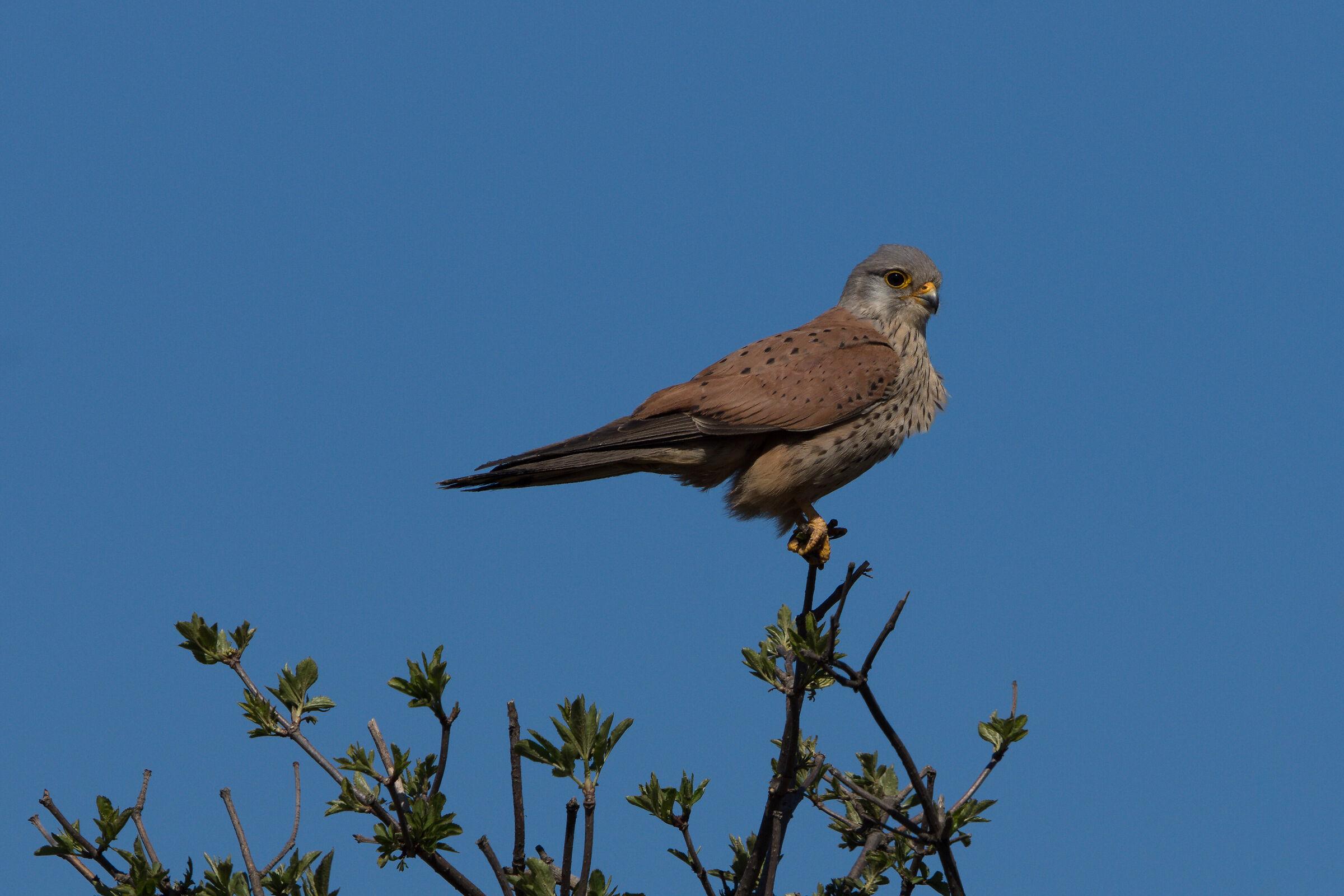 Common kestrel (Falco tinnunculus)...
