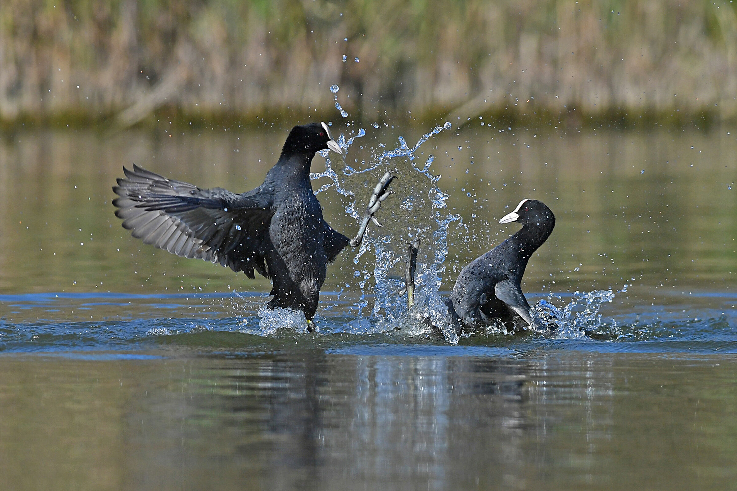 Stories of Feathers 3 (Coot)...