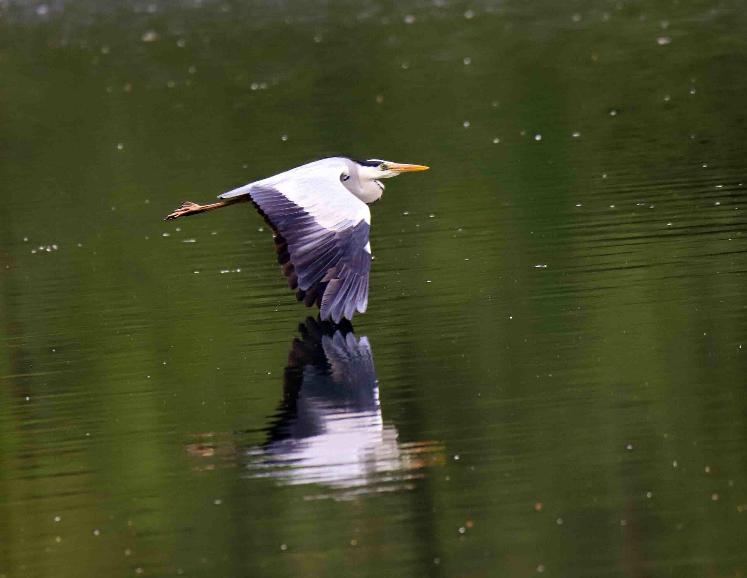 Grey Heron in Gudo...