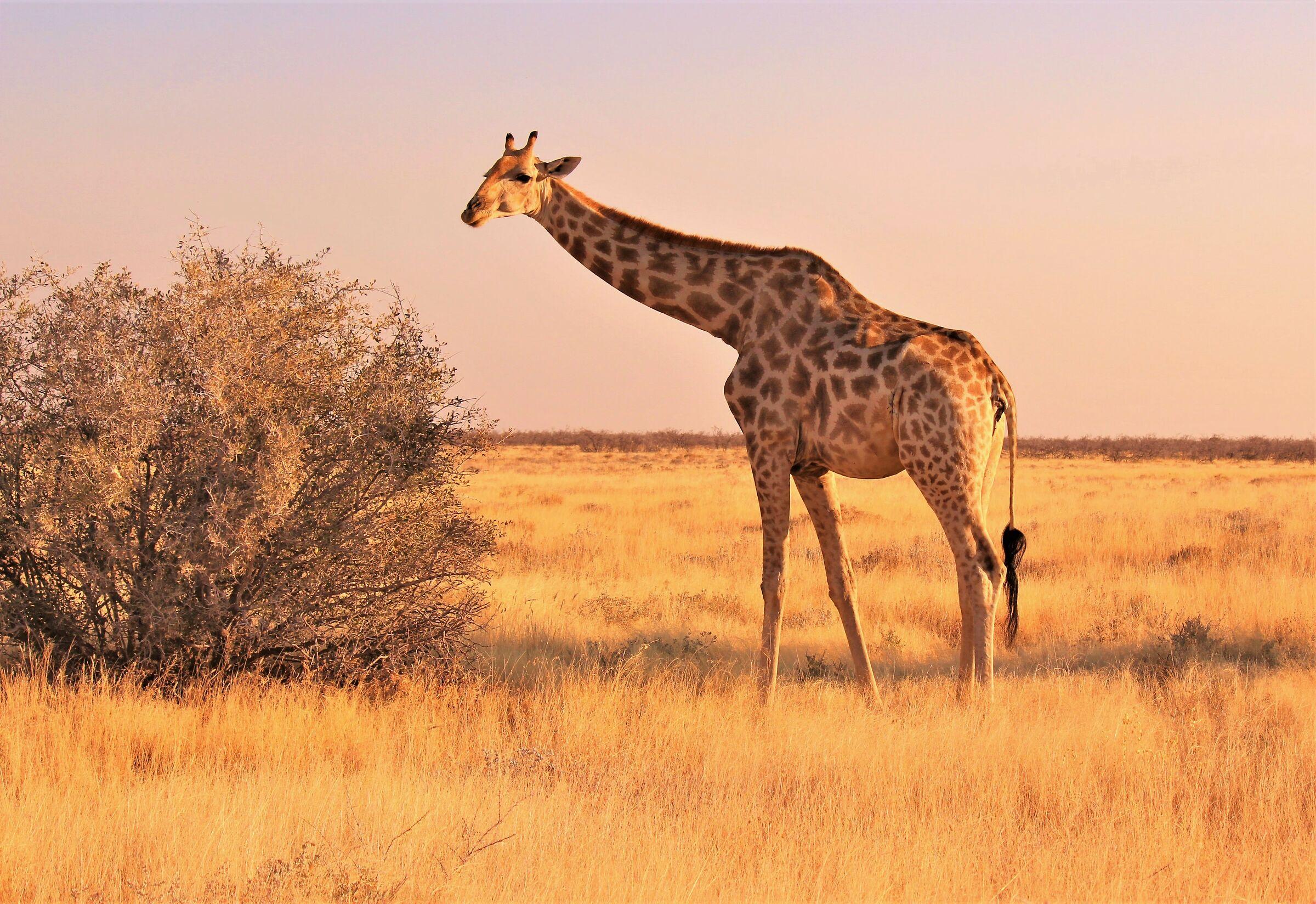 La luce dell'Africa : tramonto in Etosha...