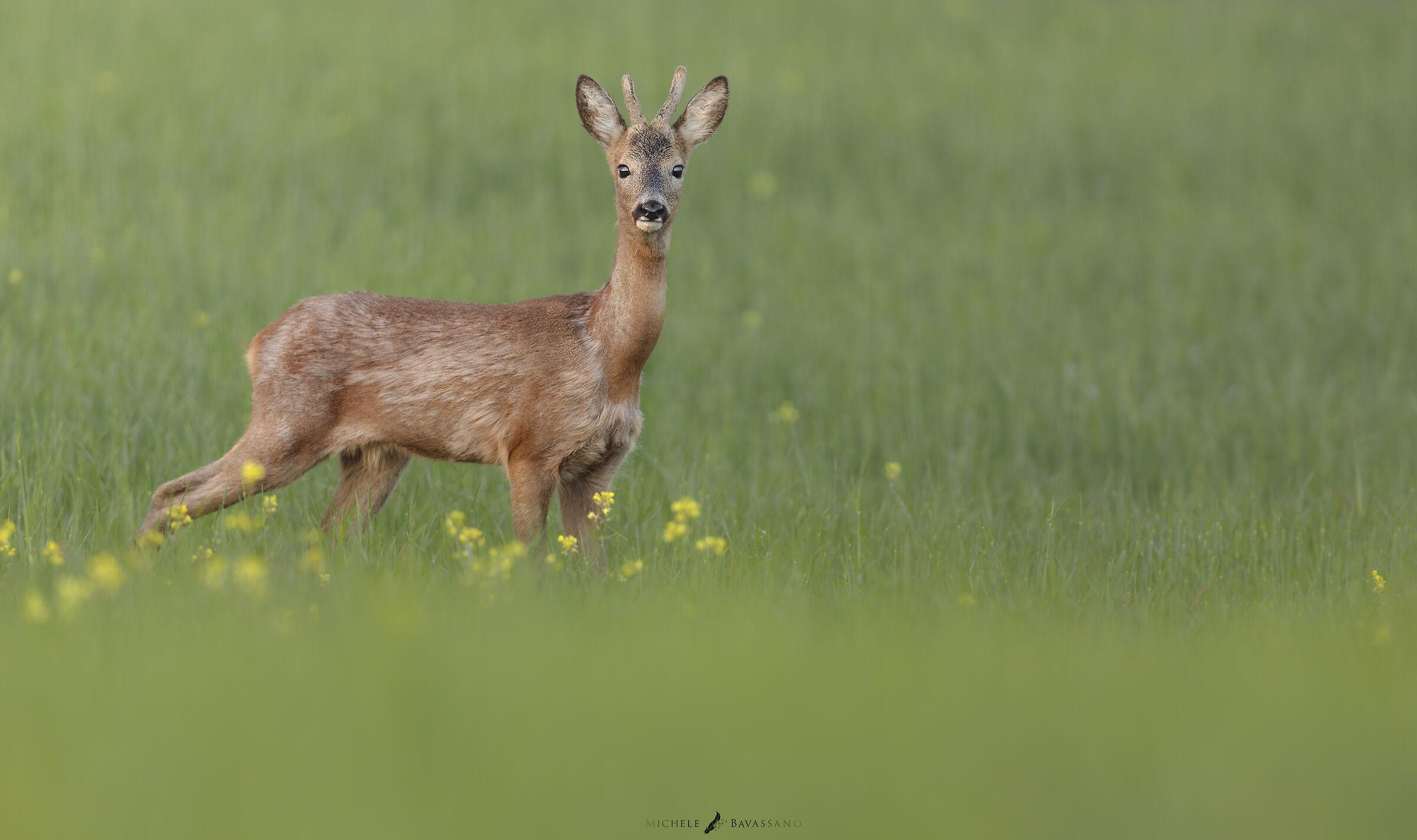 Roe Deer in 7k...