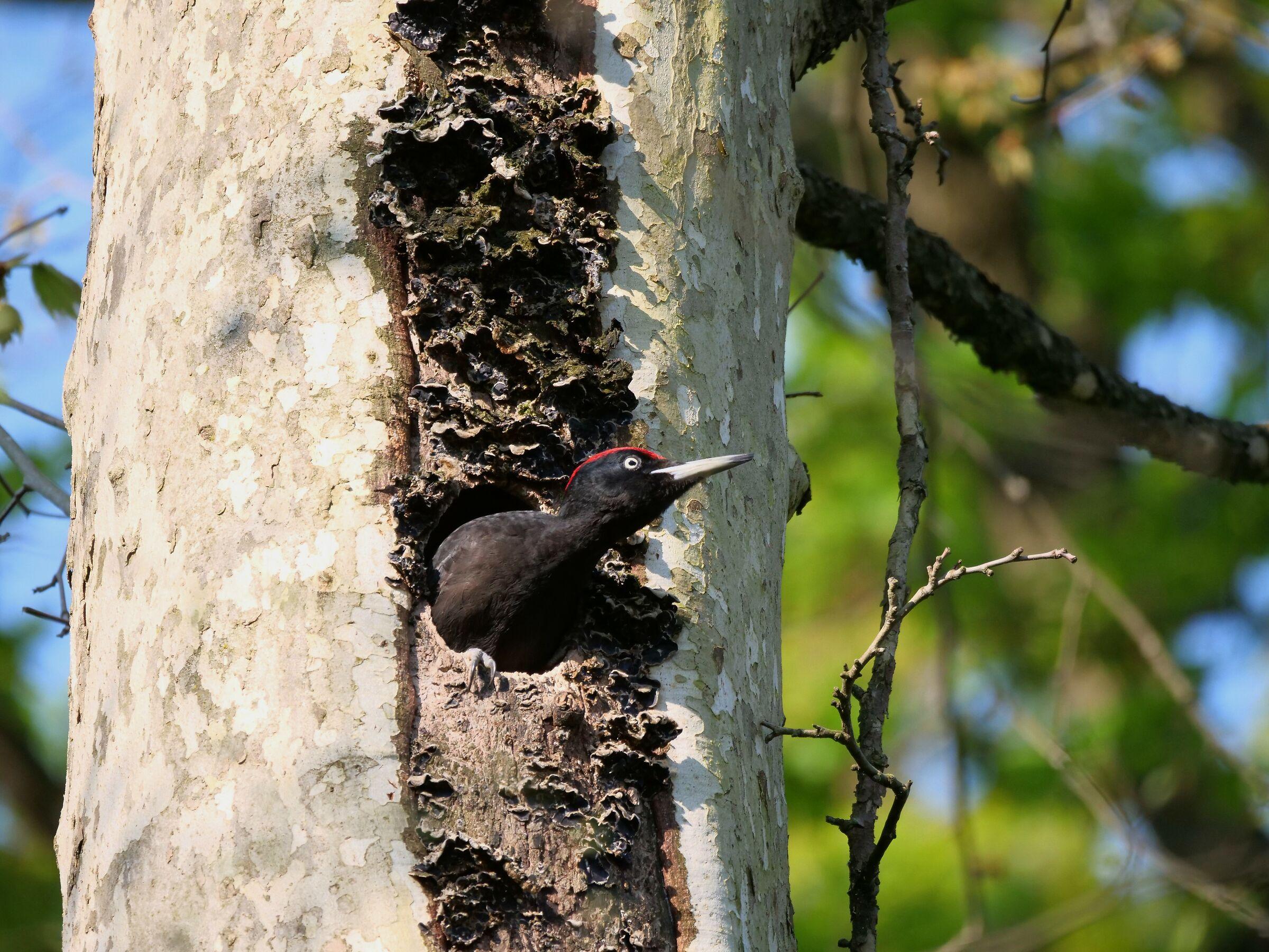 Black Woodpeckers (Dryocopus Martius) male on alert...