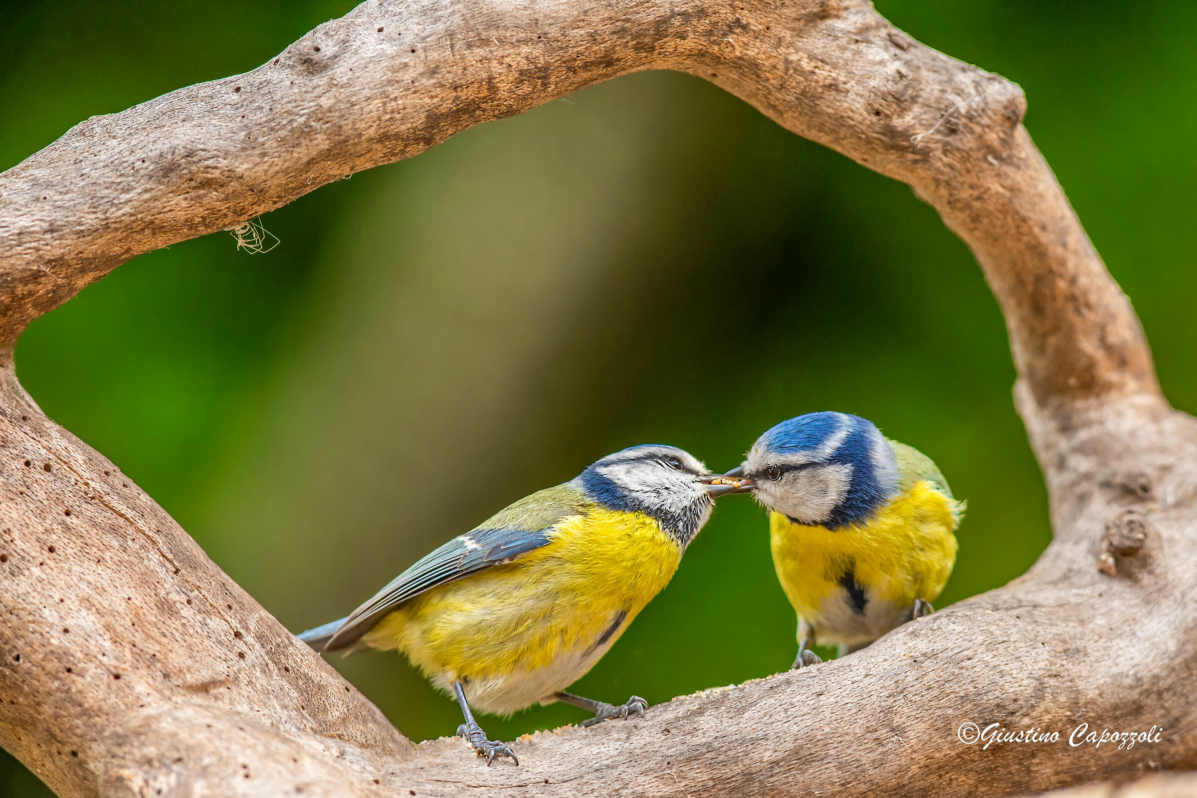 Courtship...