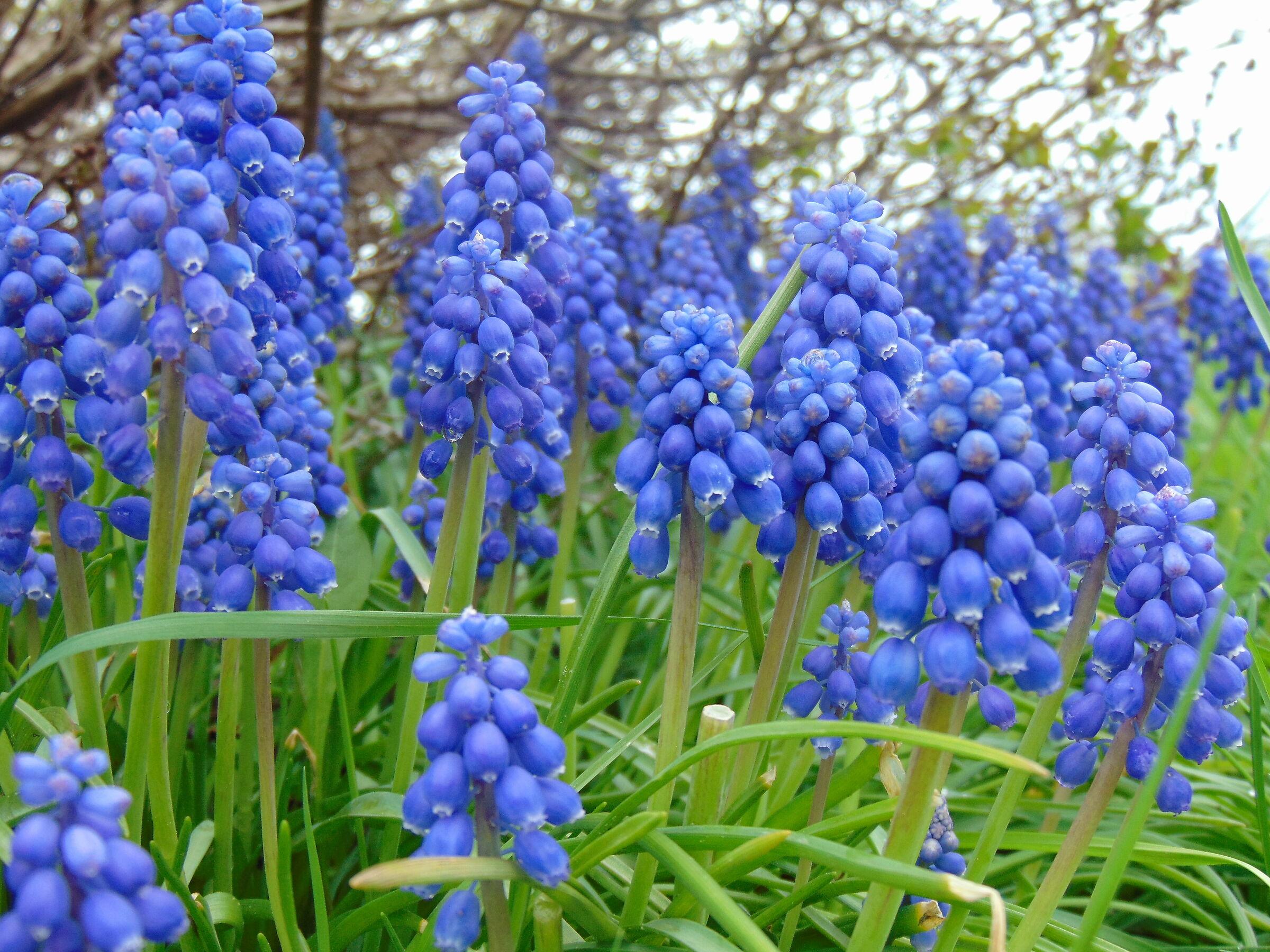 Blue Flowers... Toronto ...