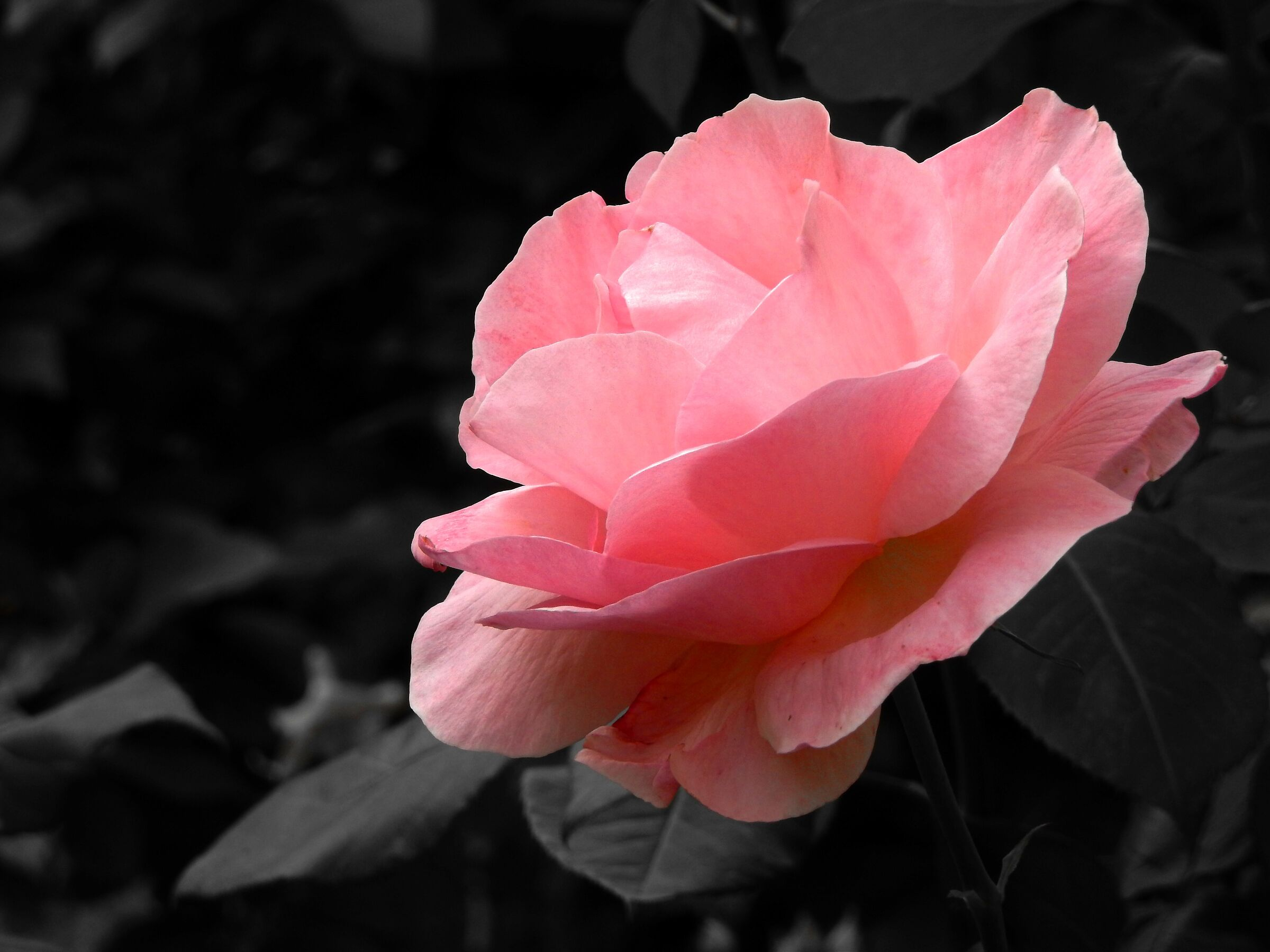 The roses are coming back to bloom......