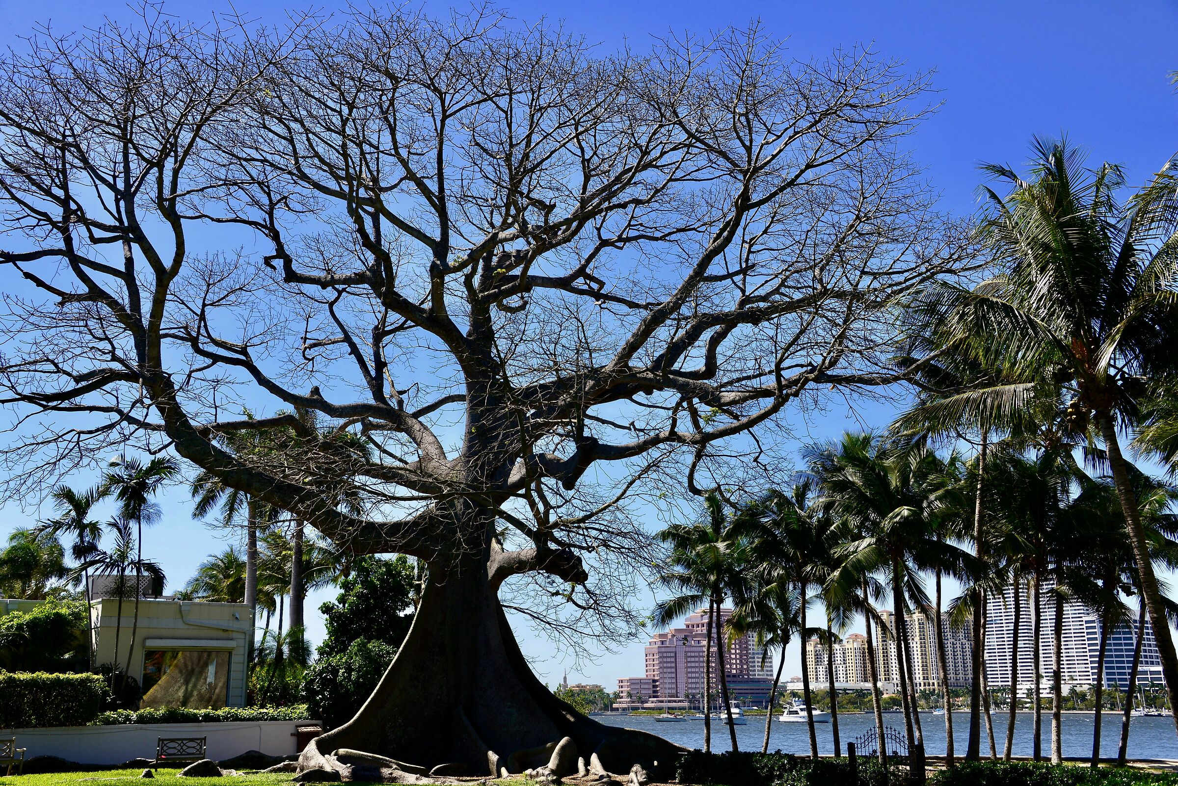 One of the oldest trees in Florida - West Palm Beach...