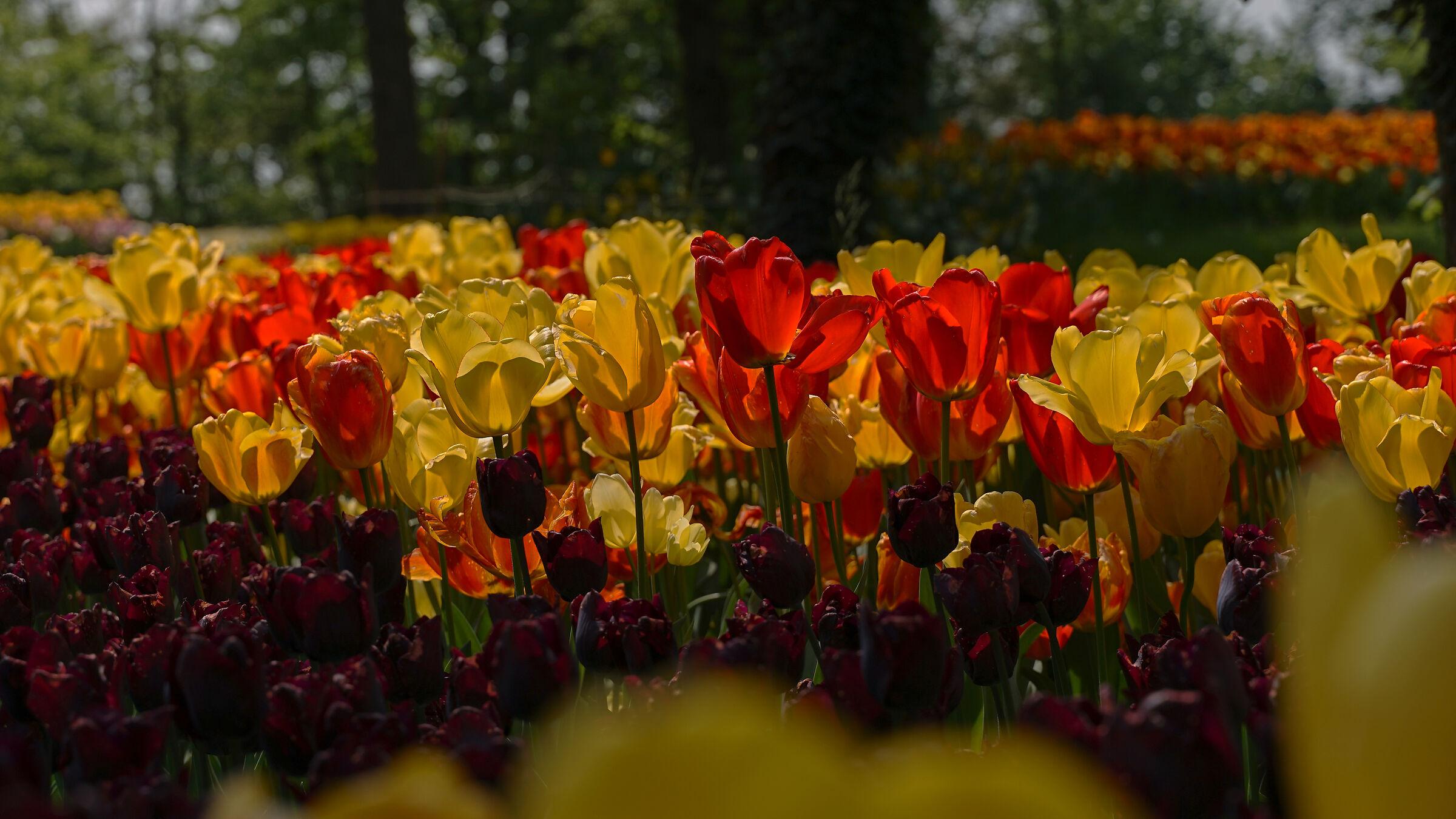 Un battaglione di ... tulipani!!!...