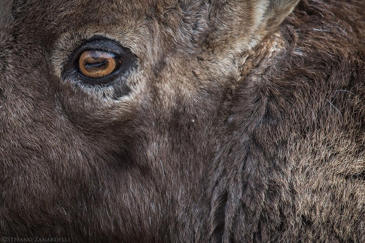 Ibex eye...
