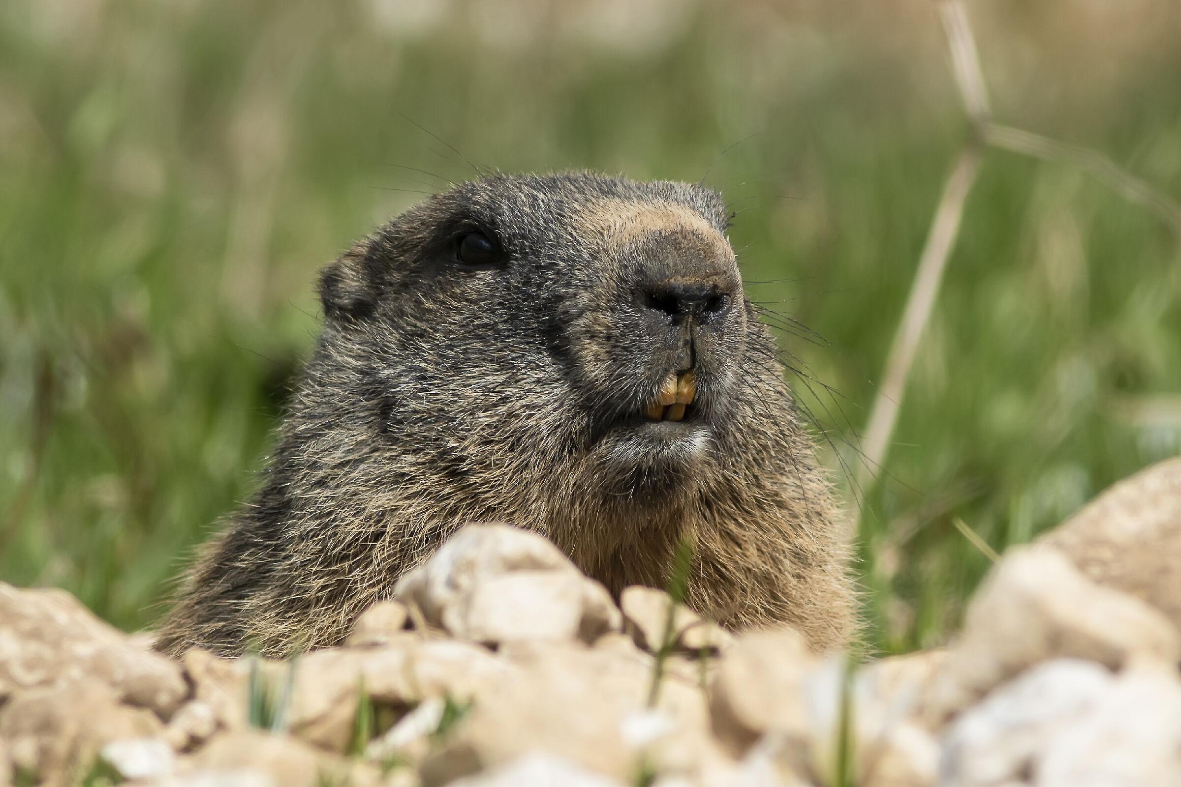Curious Groundhog...