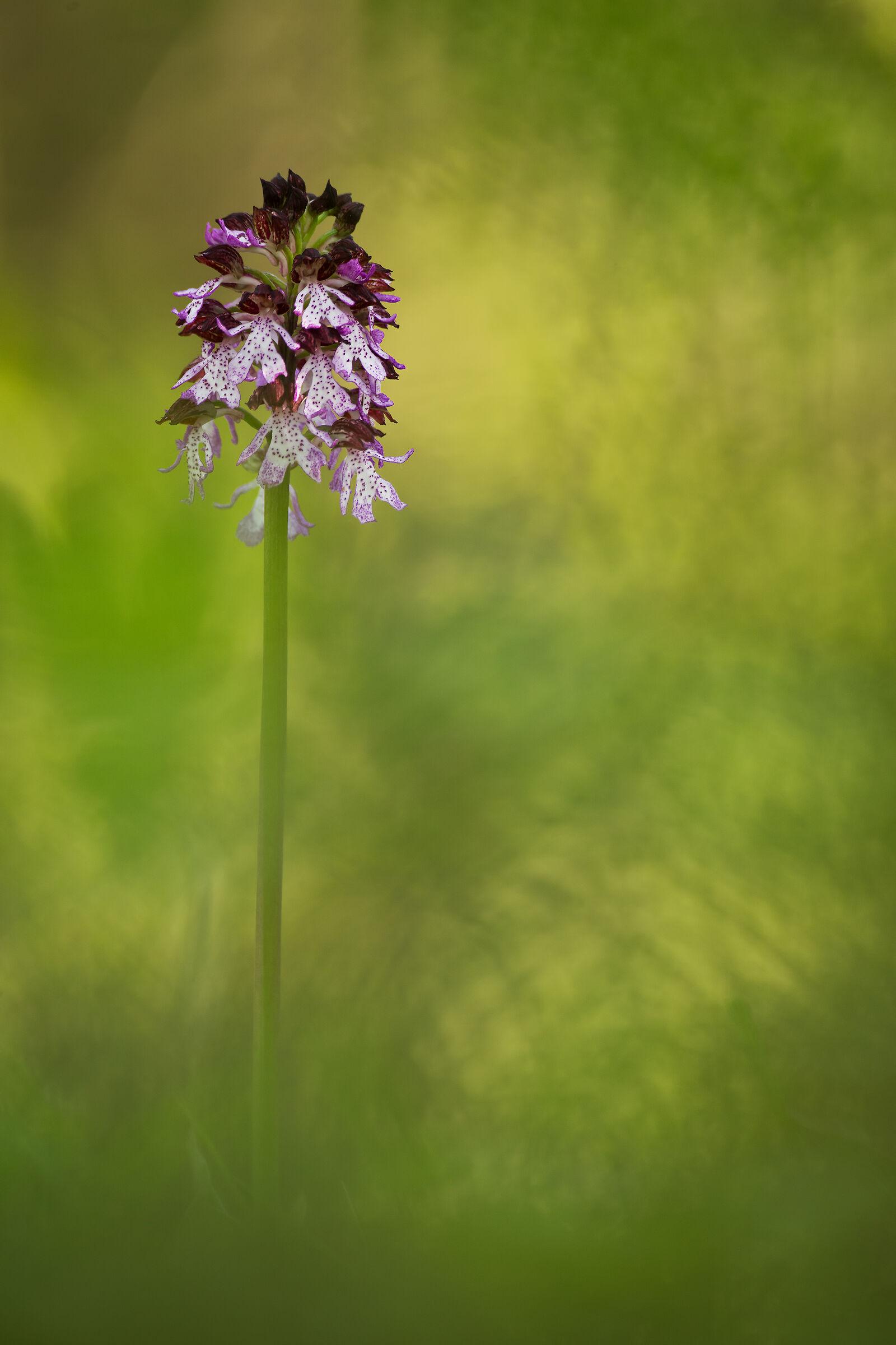 Orchis purpurea...