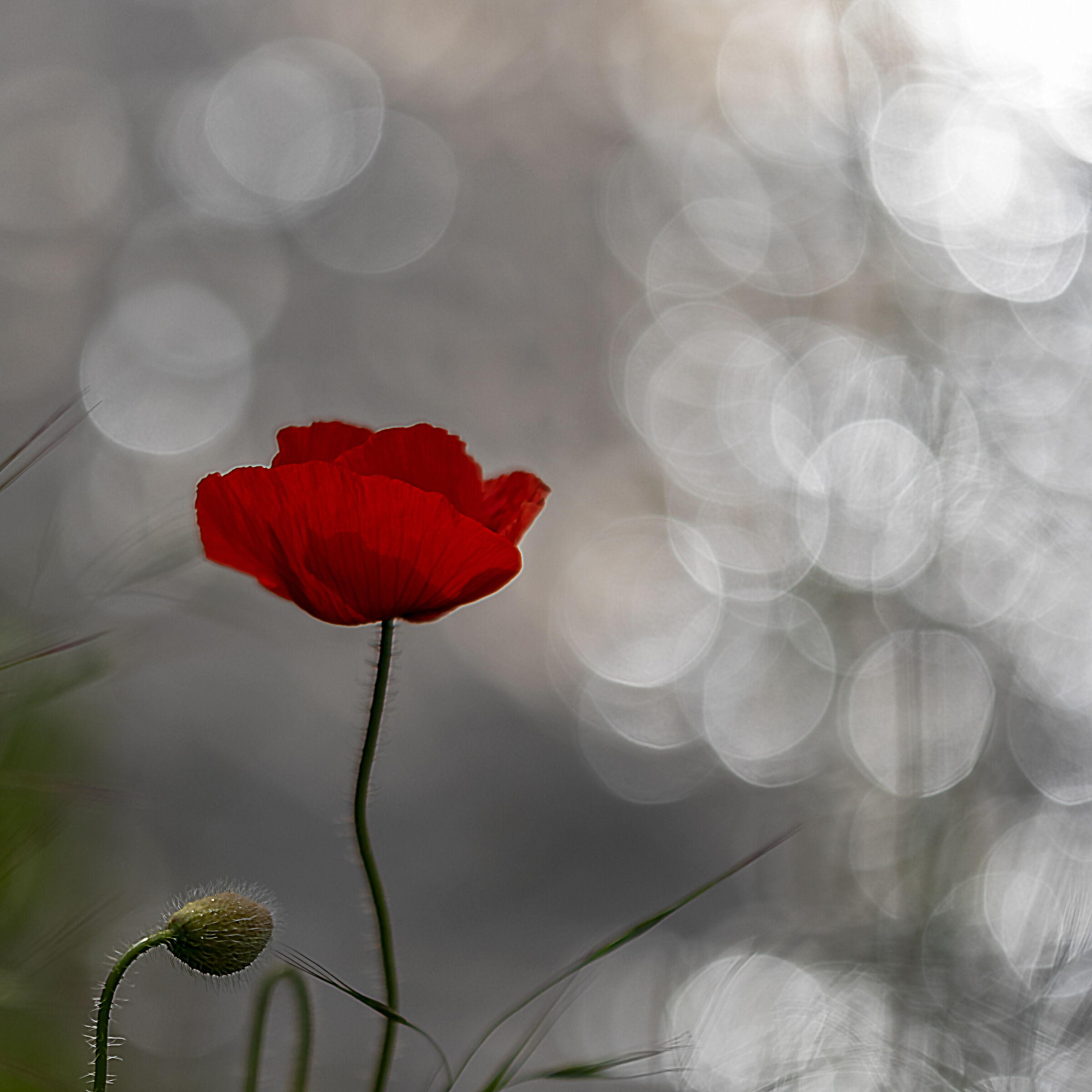 The poppy is also a flower...