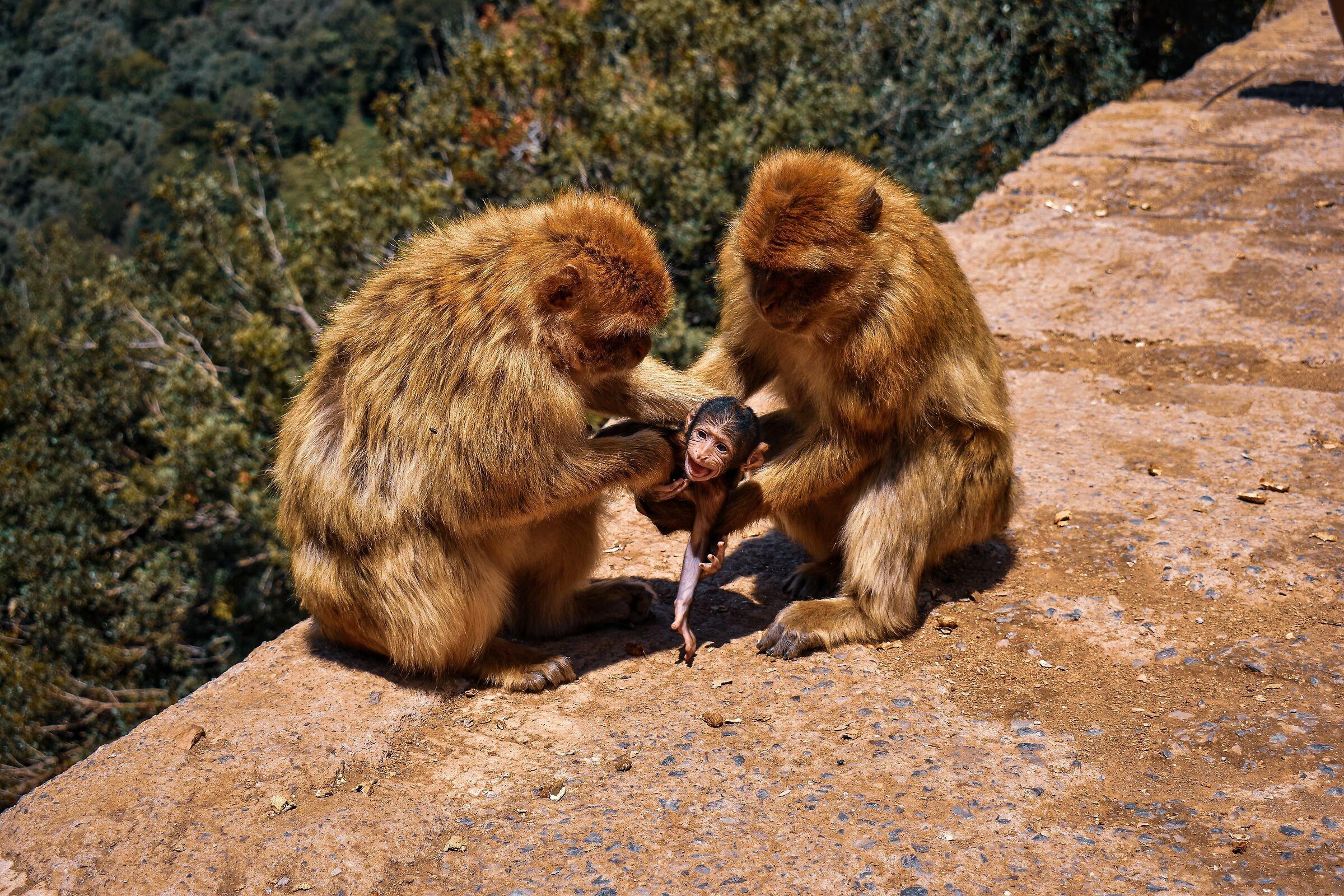 Una famiglia di scimmie...