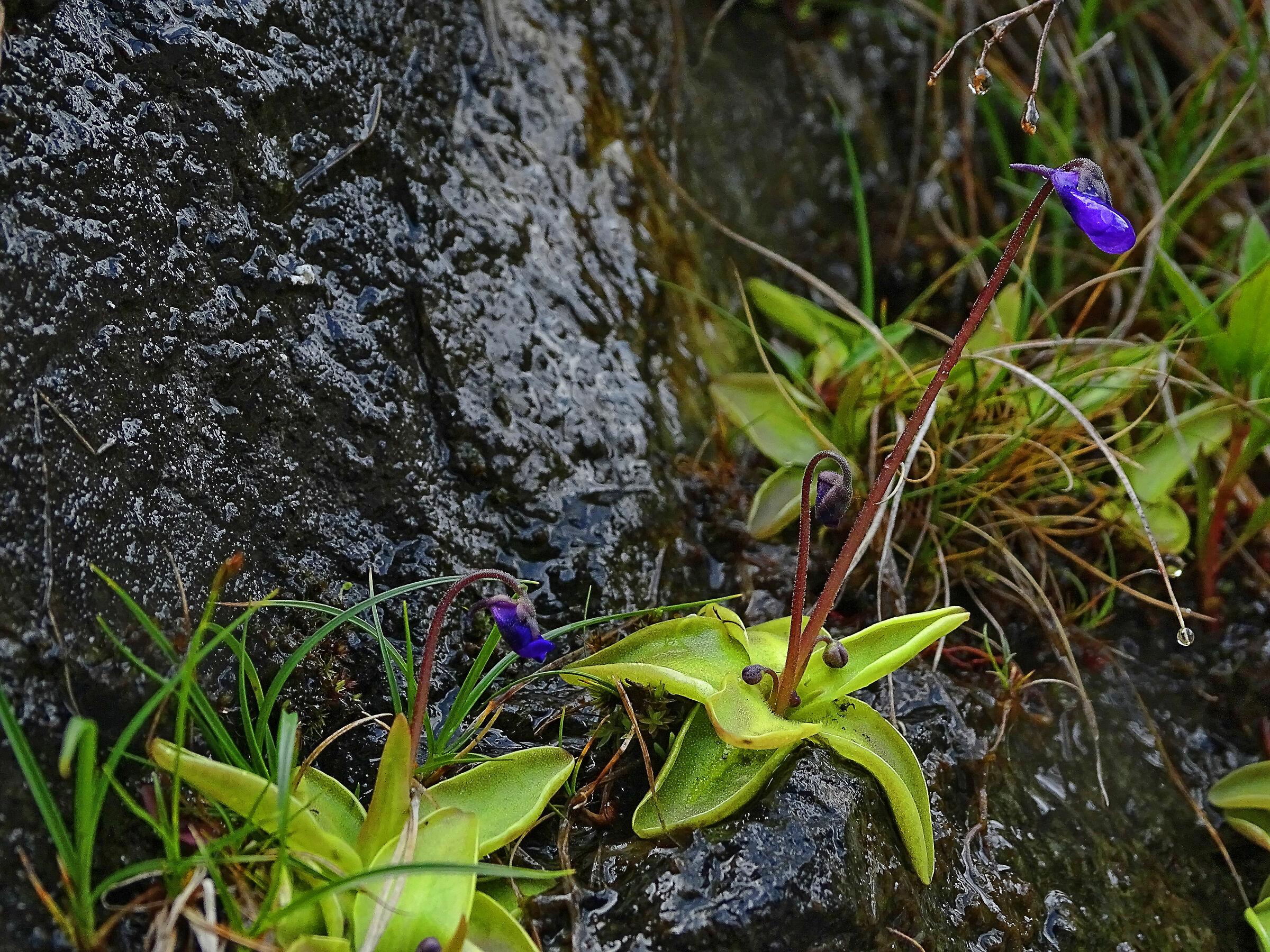 Blue Butterwort...