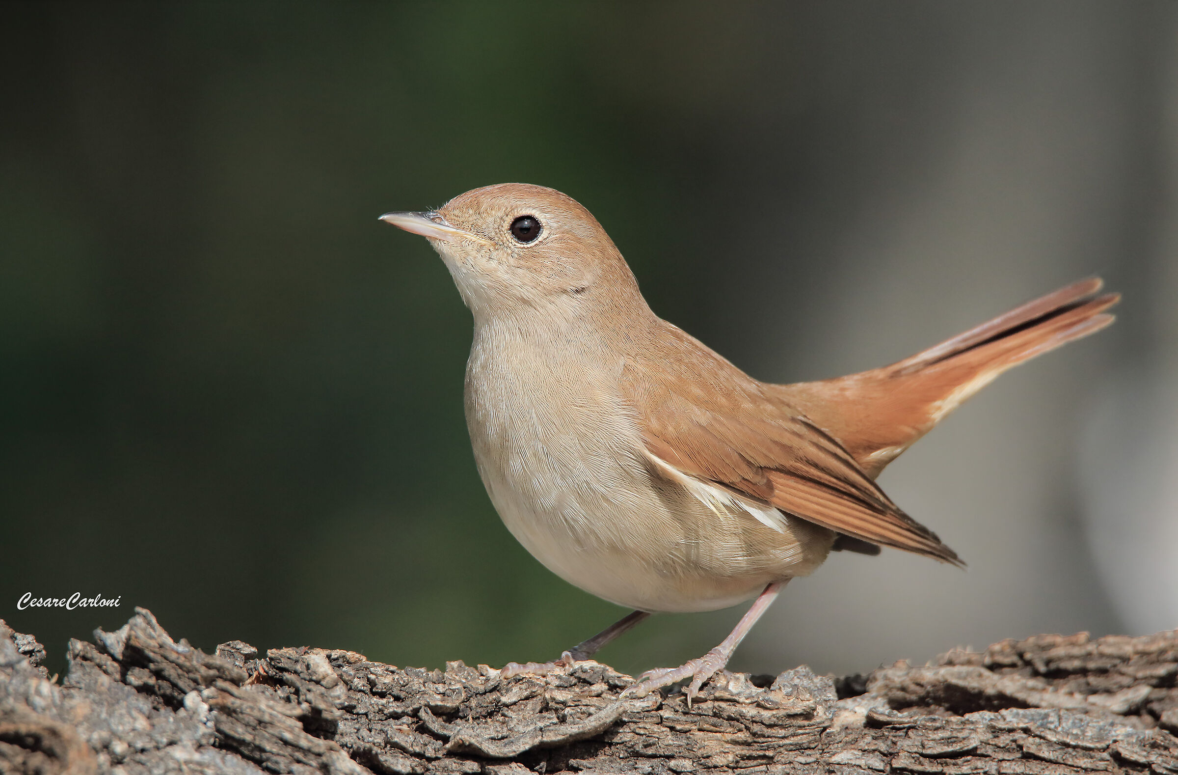 Nightingale (Luscinia megarhynchos)...