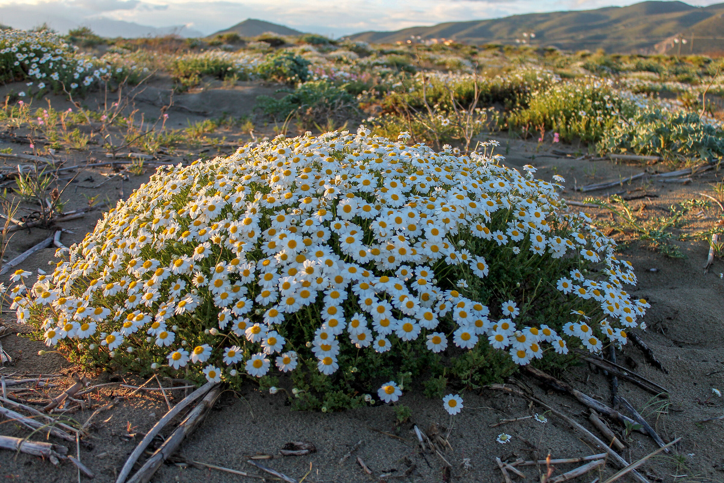 Exceptional flowering of maritime chamomile...
