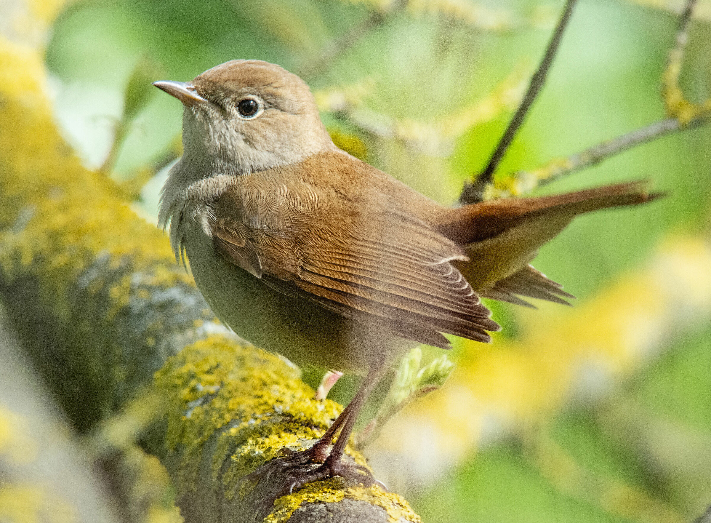 Nightingale...