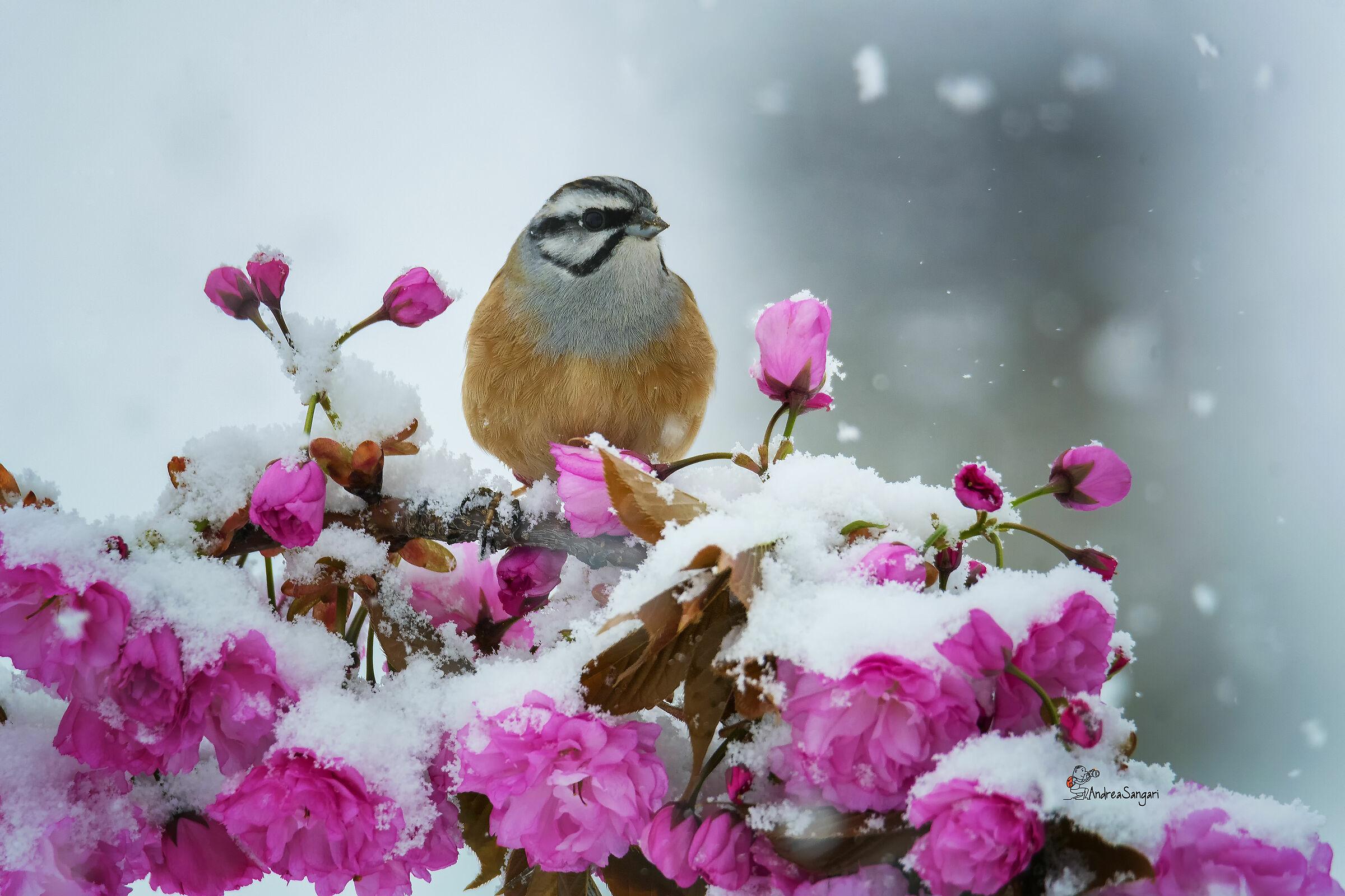 The Mucciatto in the snow...