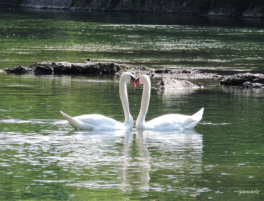 Among the birds The swan is an example of fidelity...
