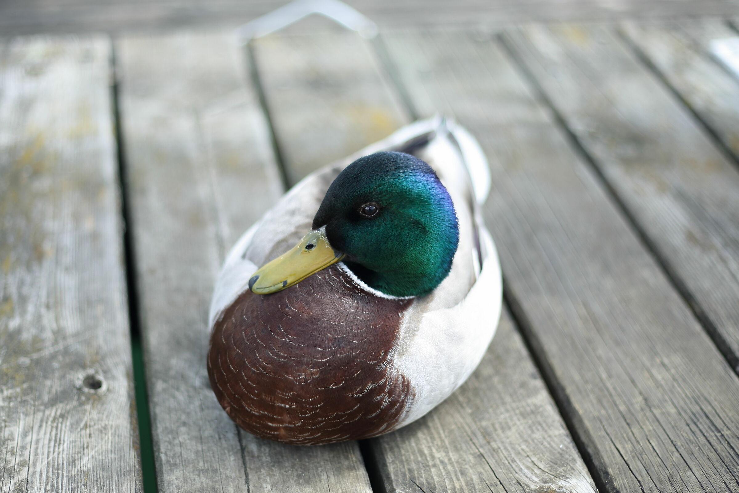 Cute Duck...