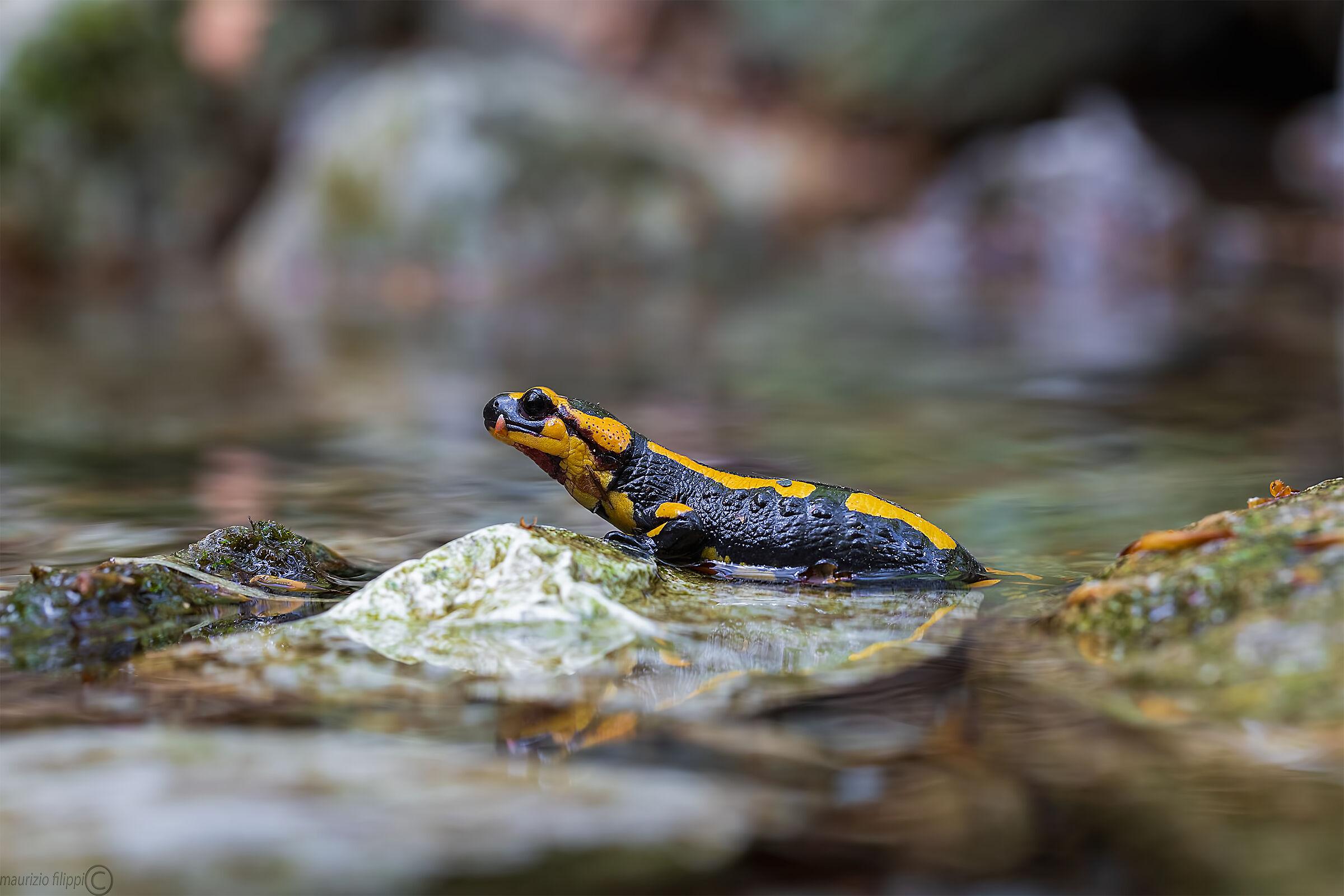 Salamandra pezzata...