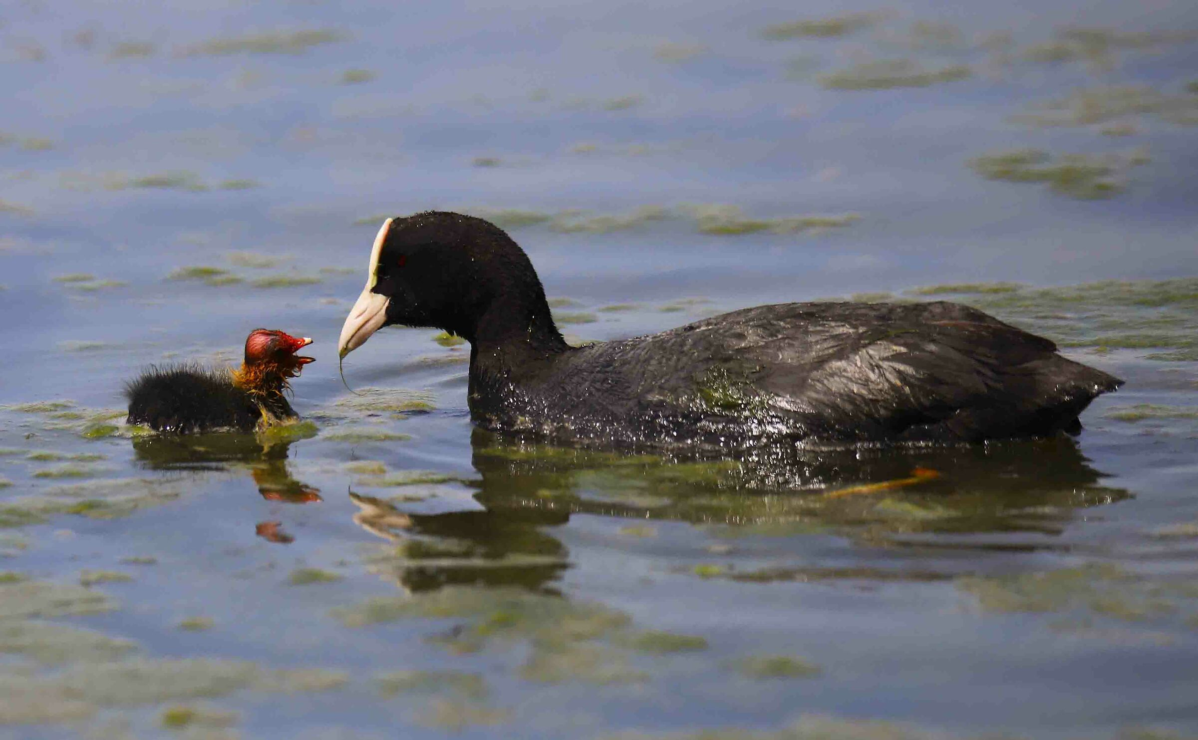 Coot with small...