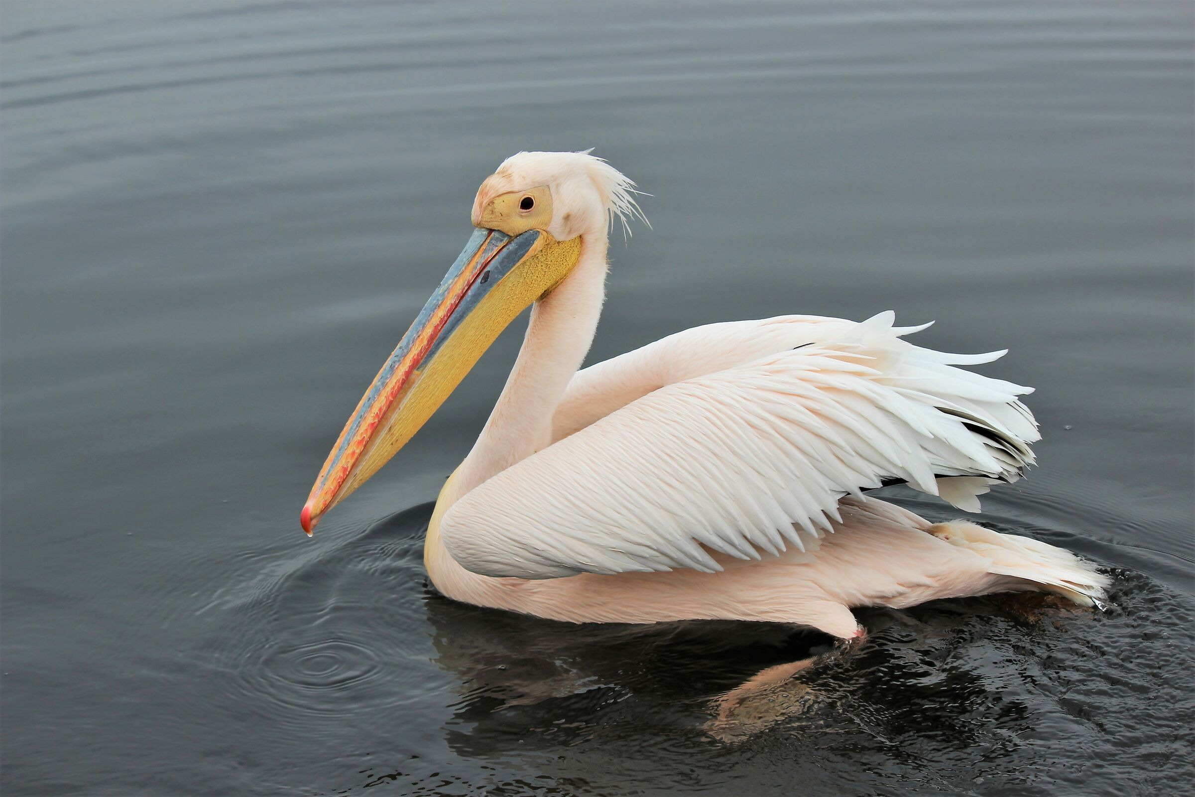 The thousand shades of white-pelican. Walvis Bay ...