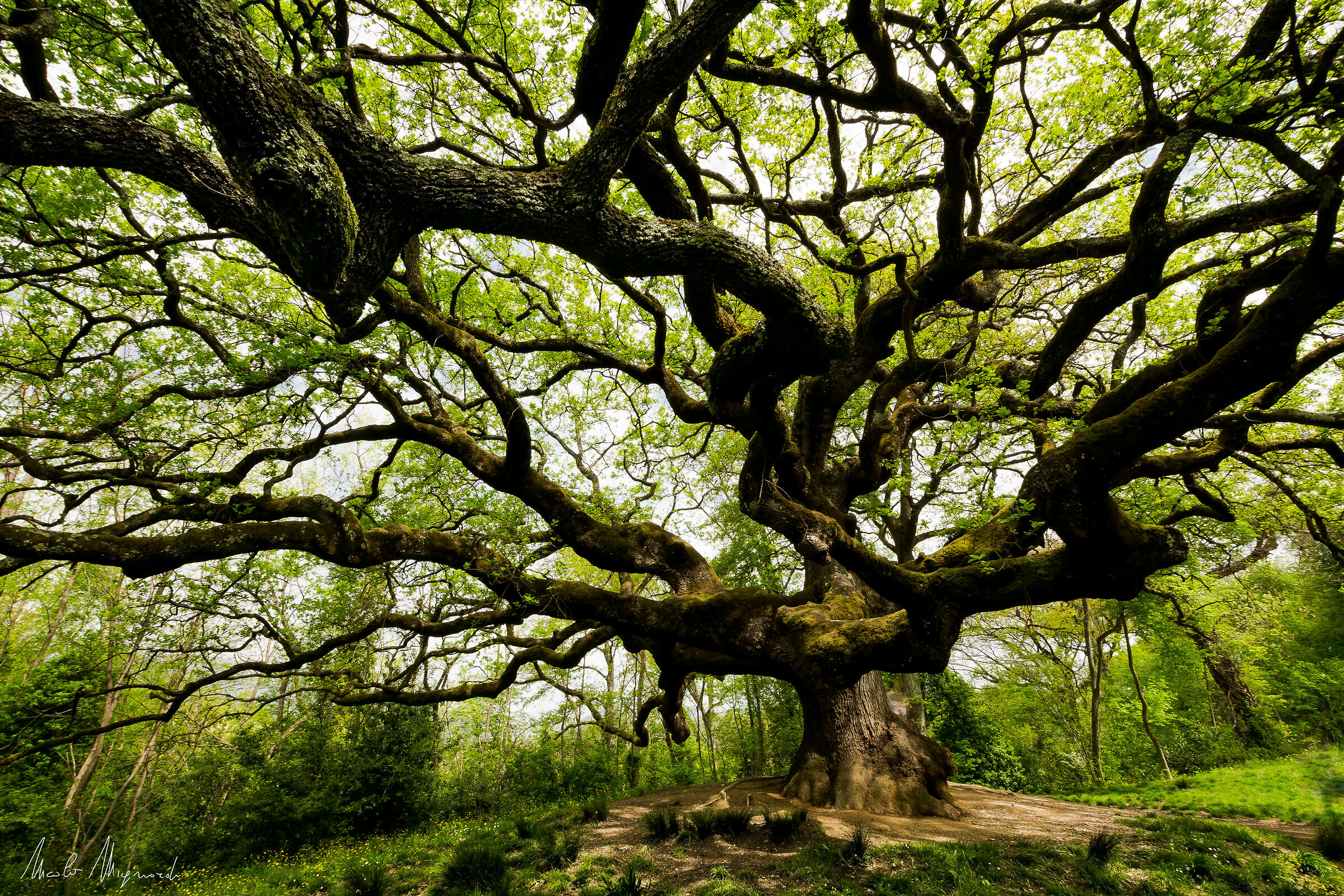The Witches ' Oak...