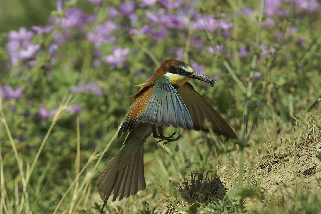 Bee-eater Returning to the nest 1...