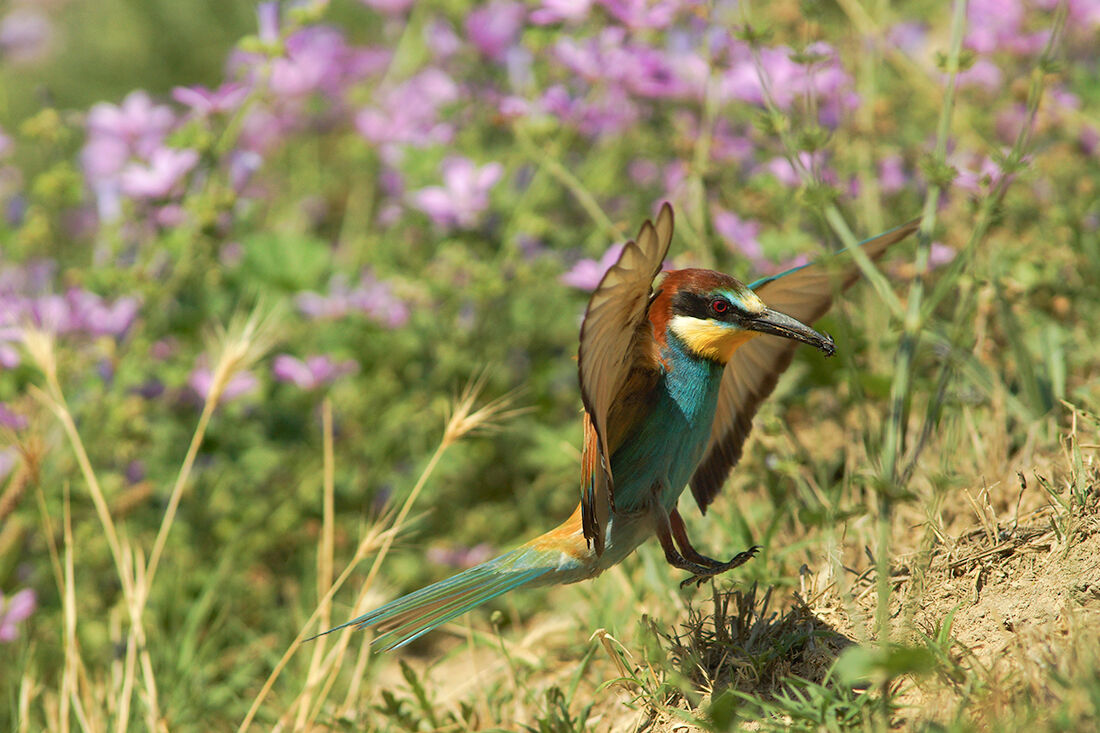 Bee-eater returning to the Nest 2...