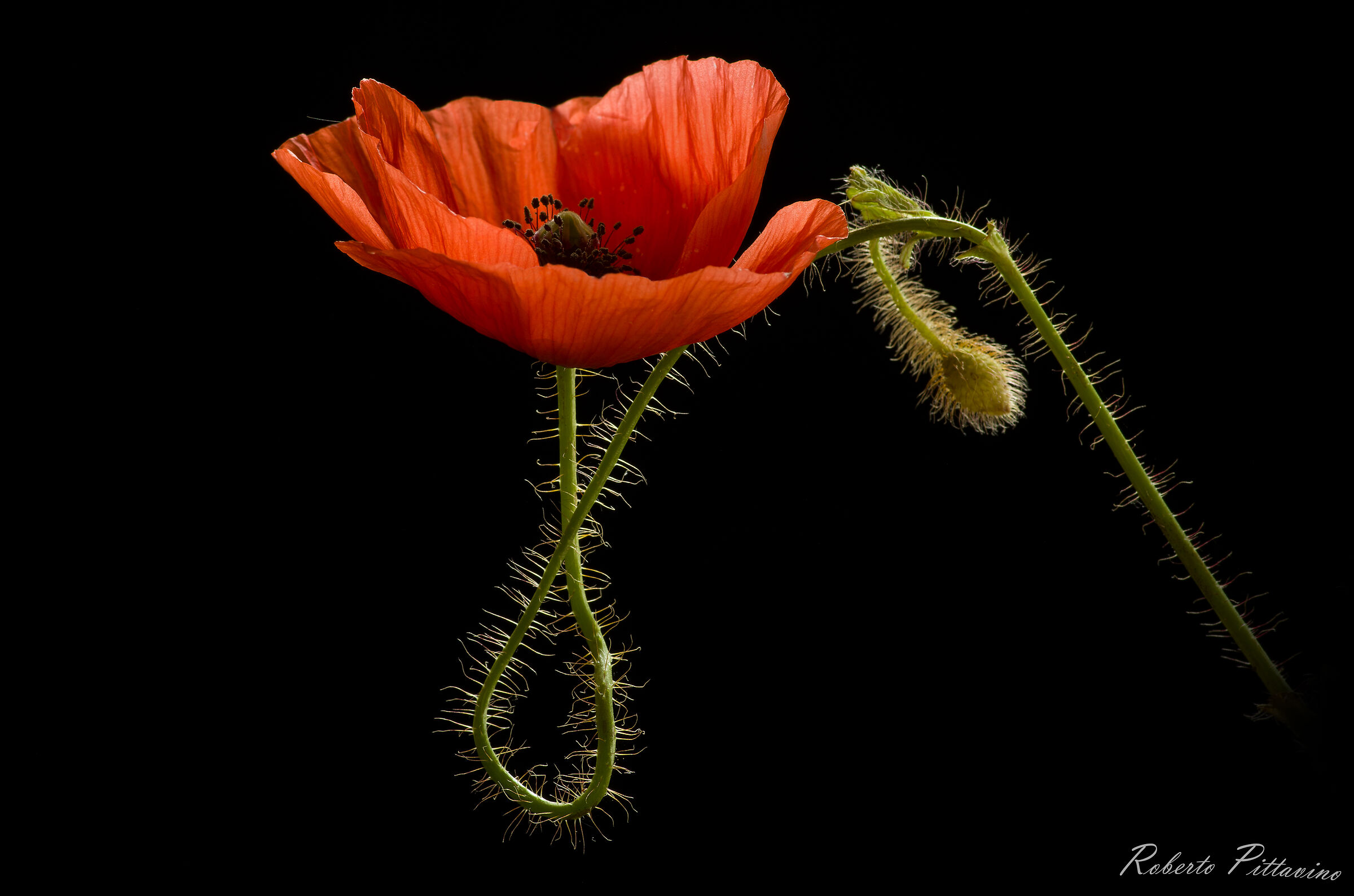 The curves of the poppy...
