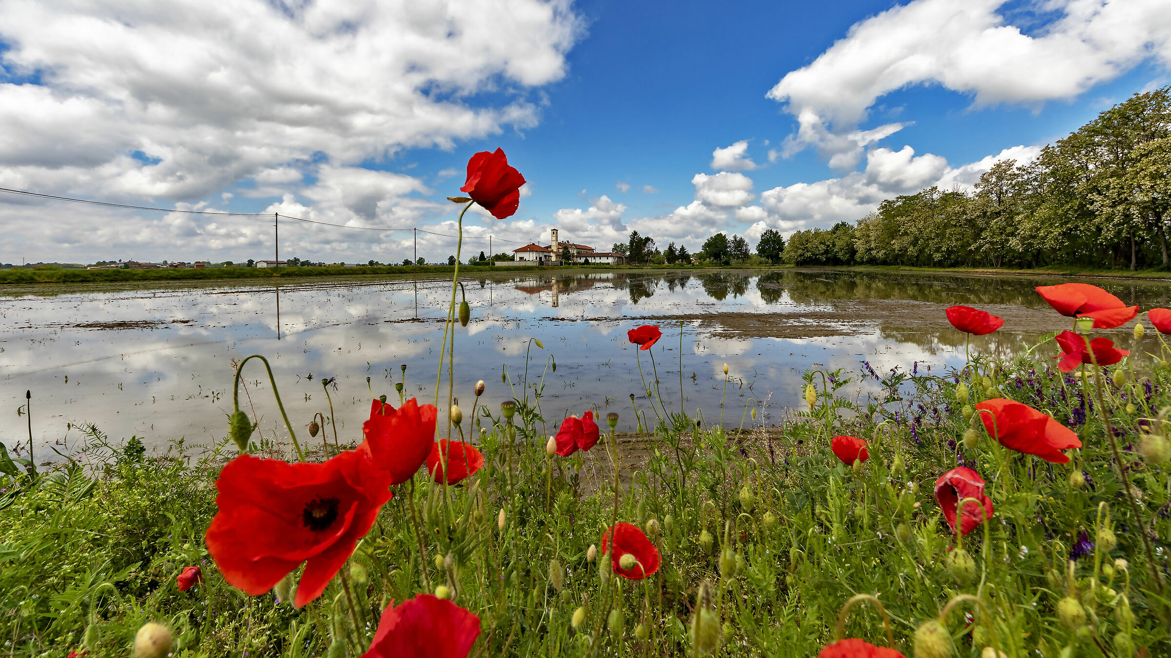 Poppies without Ducks...