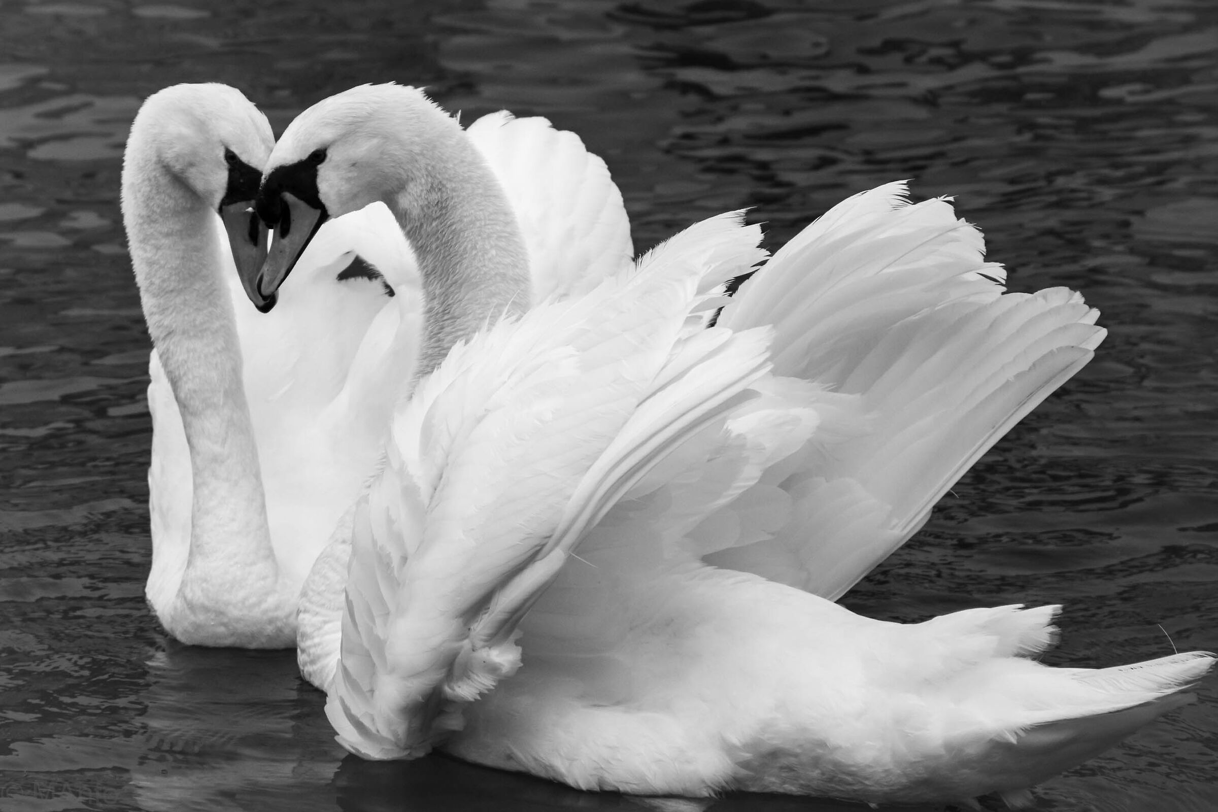 Heart of Swans...