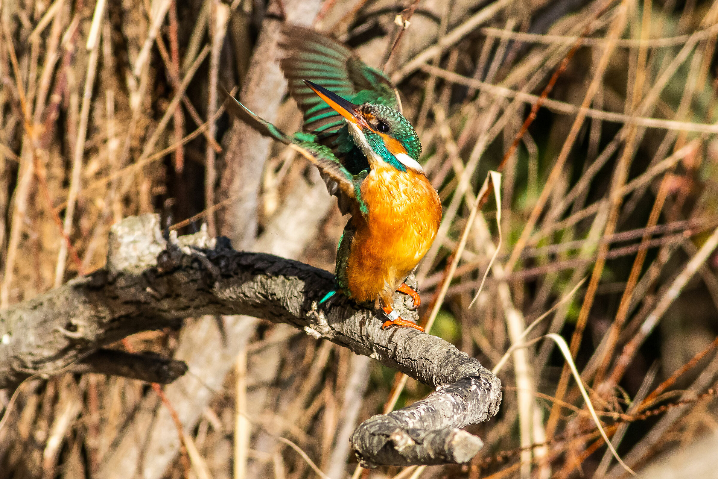Brazilian Kingfisher Dancer ...